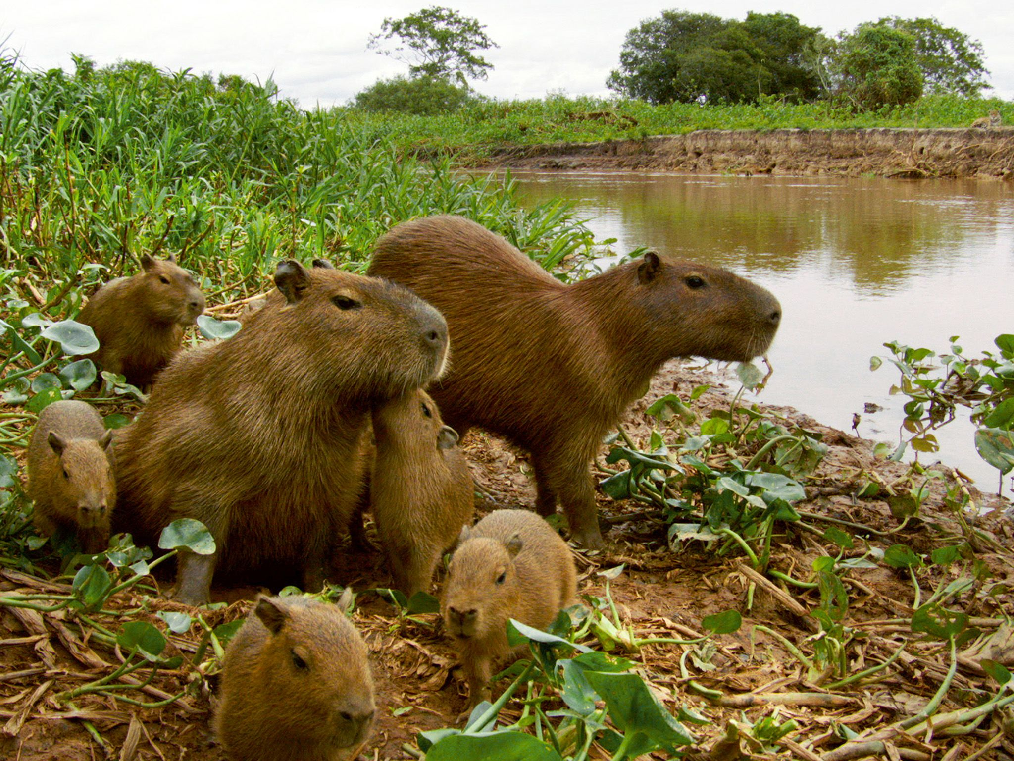 Pantanal, Brazil: Capybara (Hydrochoerus hydrochaeris) two adults with five young. This image is... [Photo of the day - February 2015]