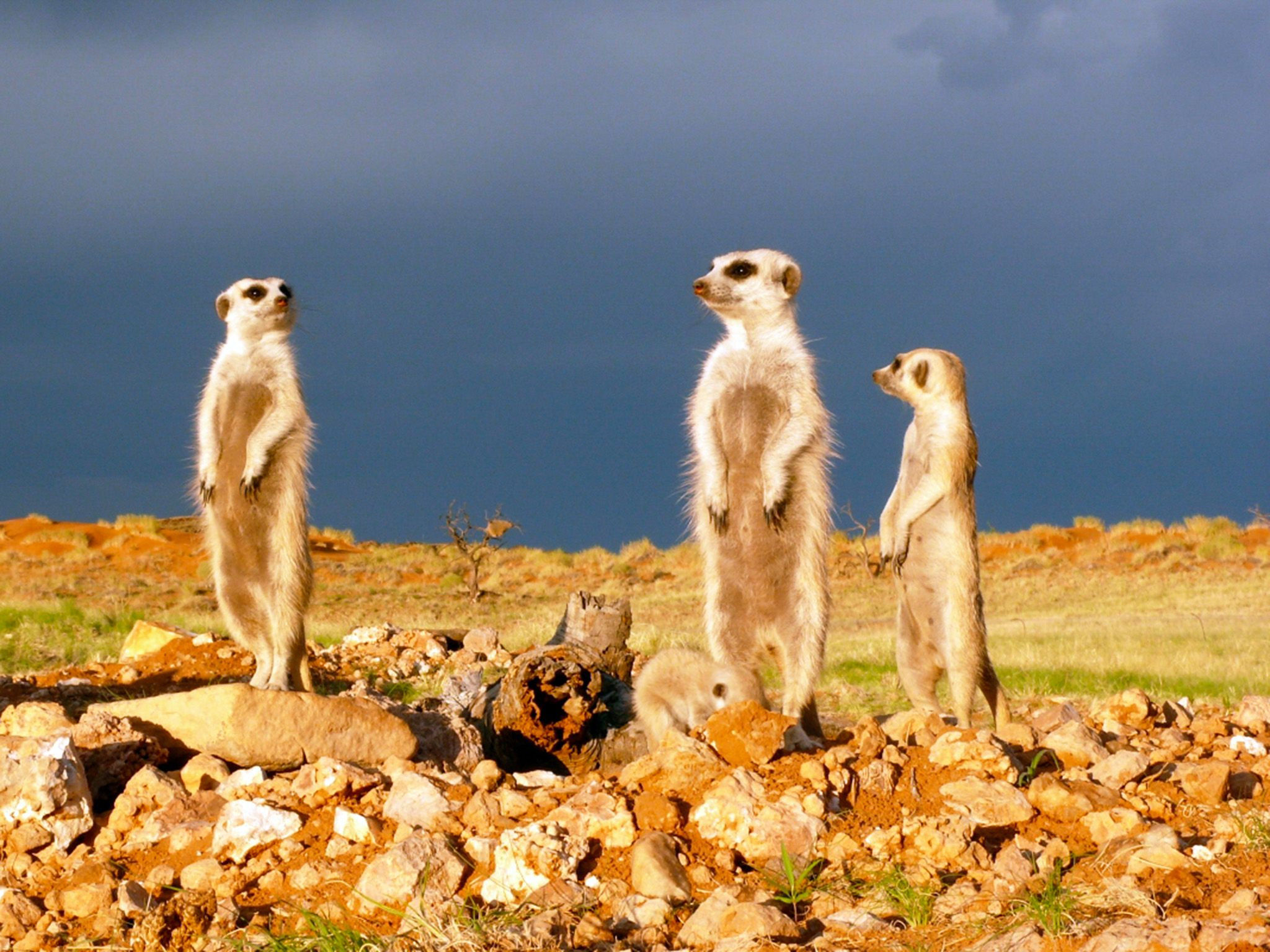 Fierce fights in meerkat society are mostly not within the family but neighbouring groups. This... [Photo of the day - February 2015]