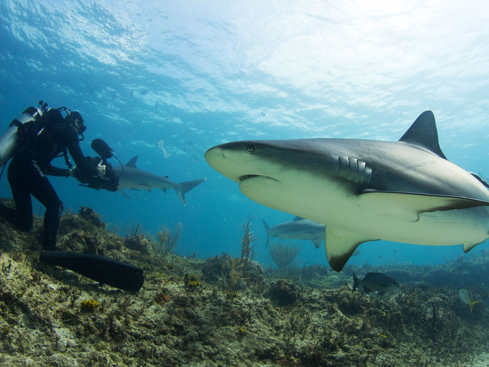 Palmyra Atoll: Tiger Shark and camerman. Dr. M. Sanjayan dives deep into the oceans to find out... [Photo of the day - March 2015]