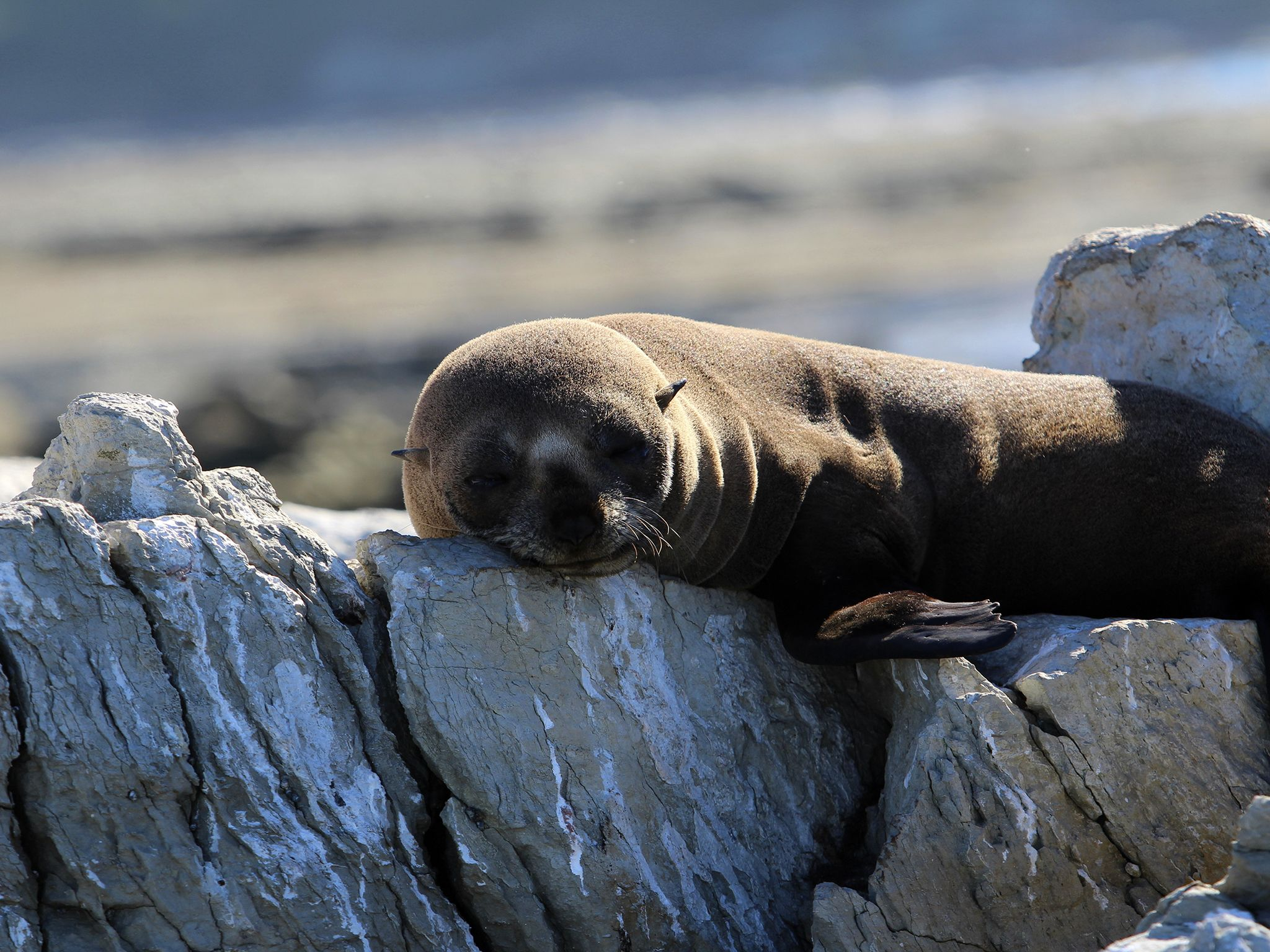 Young fur seal pup resting on a coastal rock formation on the beaches of Kaikoura, New Zealand,... [Photo of the day - مارس 2015]