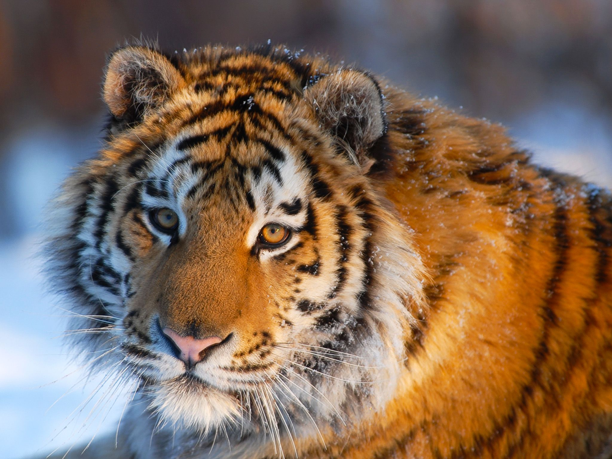The Siberian tiger is the world's biggest cat. 300 kilos and three metres of feline power... [Photo of the day - مارس 2015]