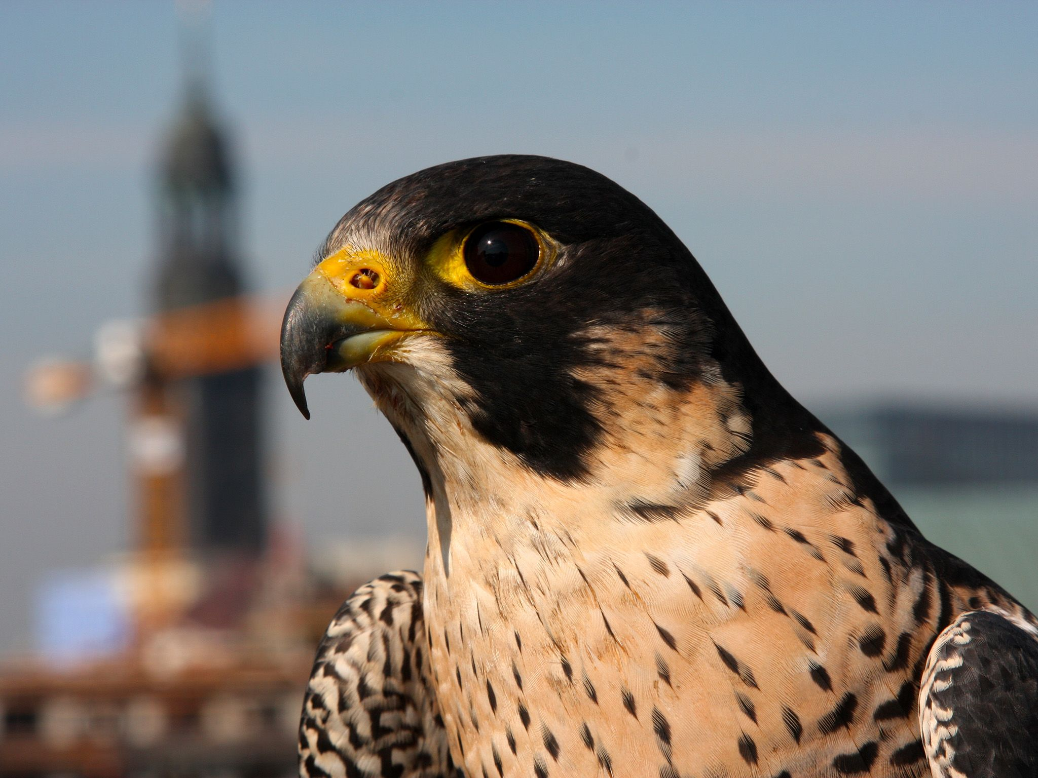 When Peregrines dive they can reach maximum speeds of 322 kilometers per hour! They are the... [Photo of the day - مارس 2015]