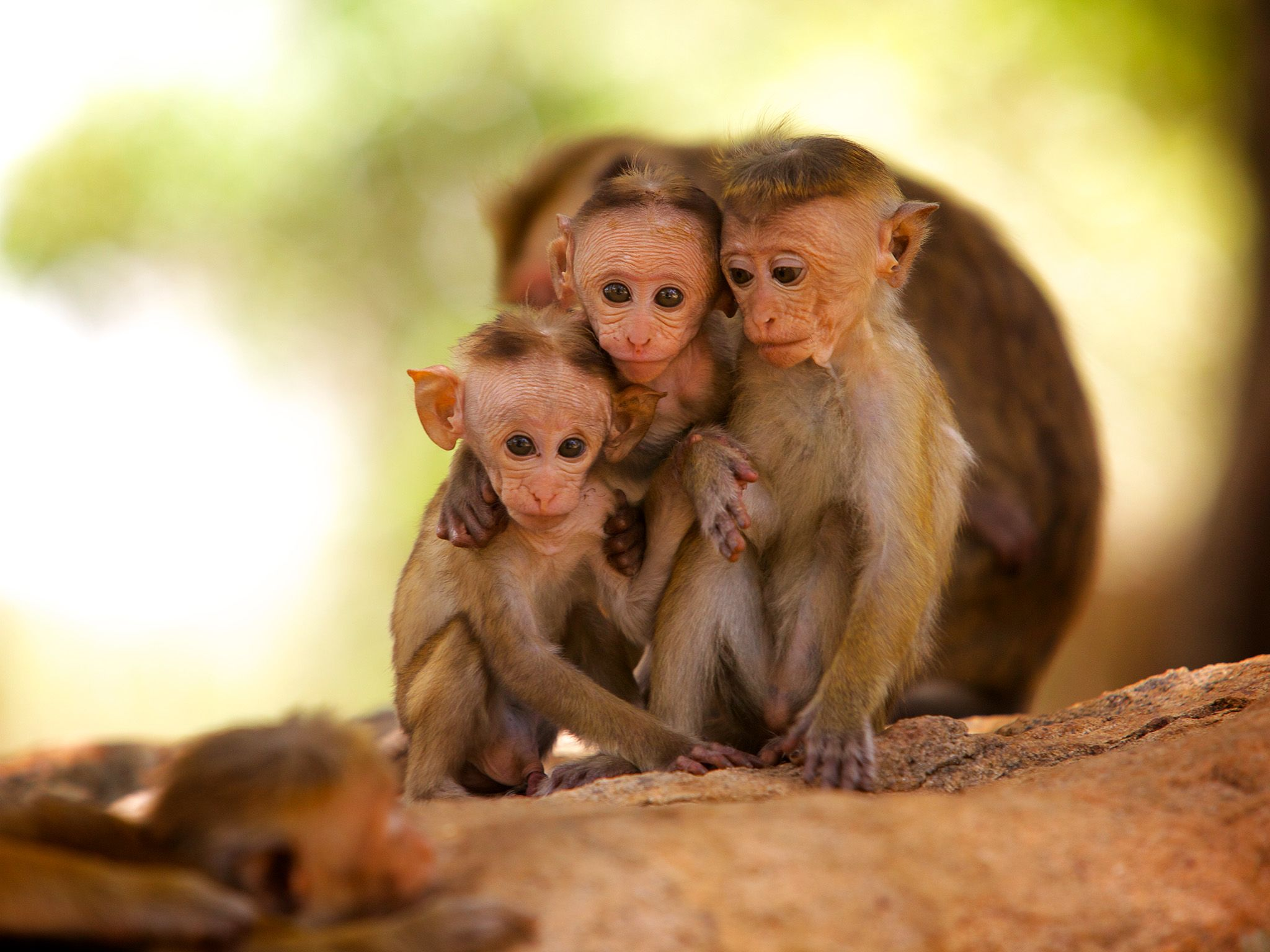 Sri Lanka: Three infant Toque Macaques huddle together before a bout of spontaneous playing. The... [Photo of the day - March 2015]