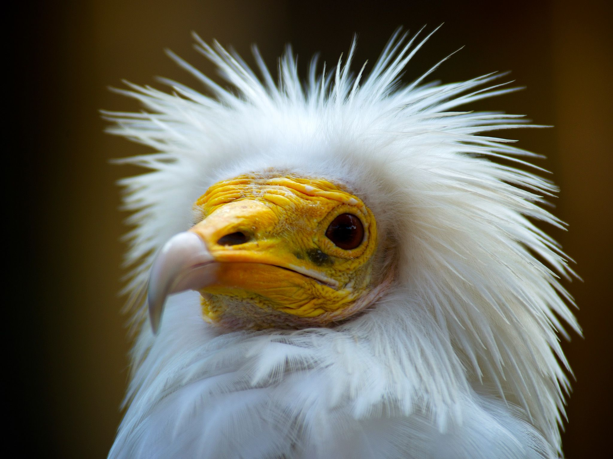 Bikaner, India: Egyptian vulture. A new look at humankind's relationship with the wildest... [Photo of the day - مارس 2015]