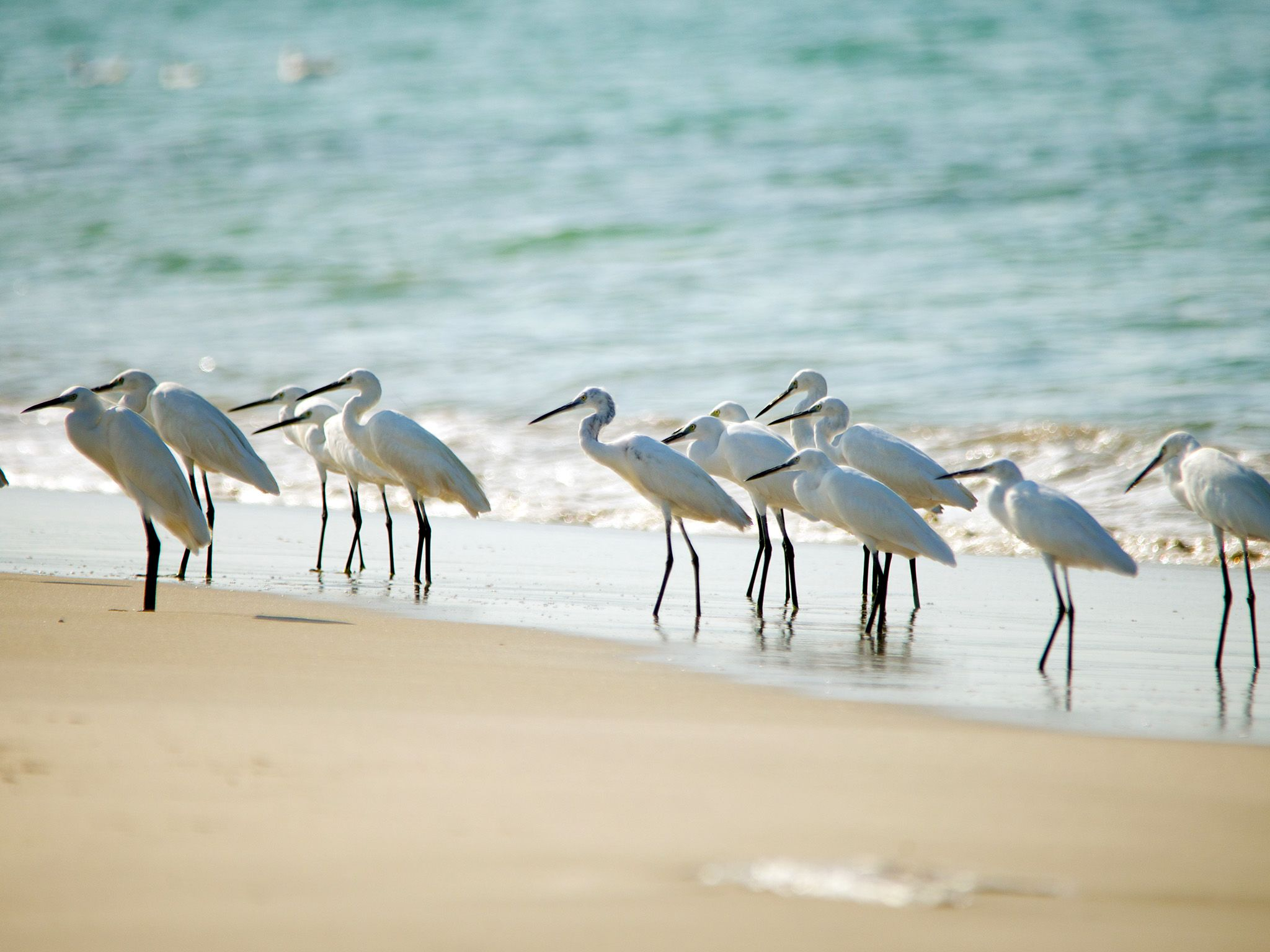 Sri Lanka: A flock of Little Egrets on the shoreline of a Sri Lankan beach. The Egrets wade into... [Photo of the day - March 2015]