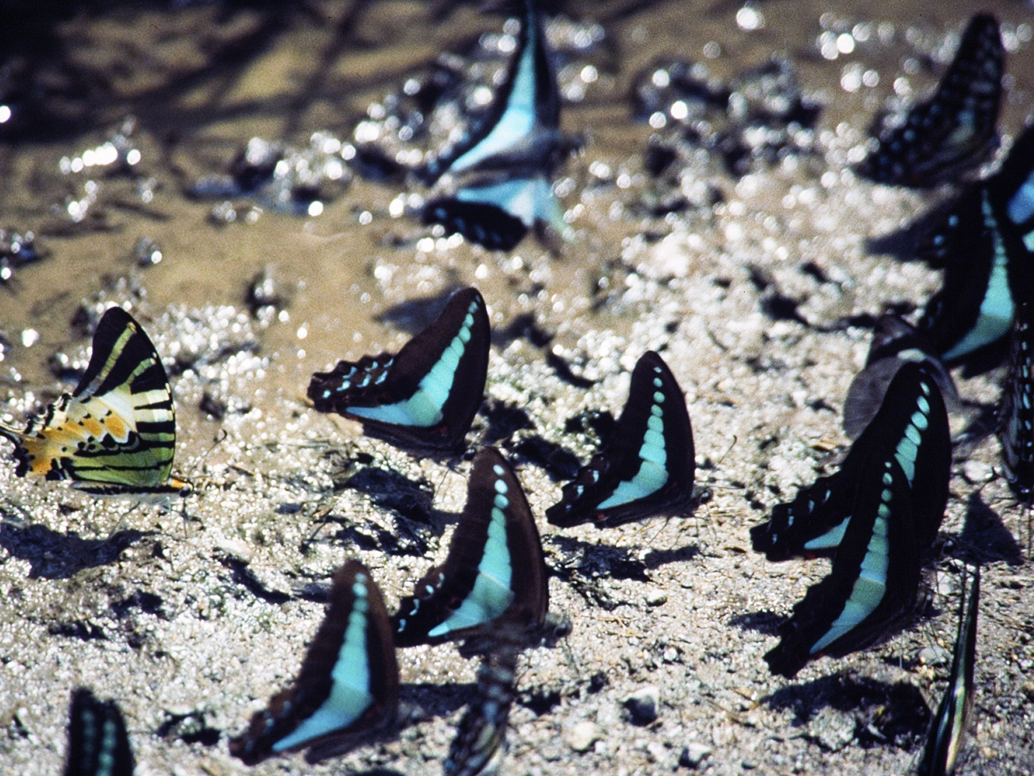 Common blue bottle butterflies, and a five-bar swallowtail. This image is from Wild Indonesia. [Photo of the day - آوریل 2015]