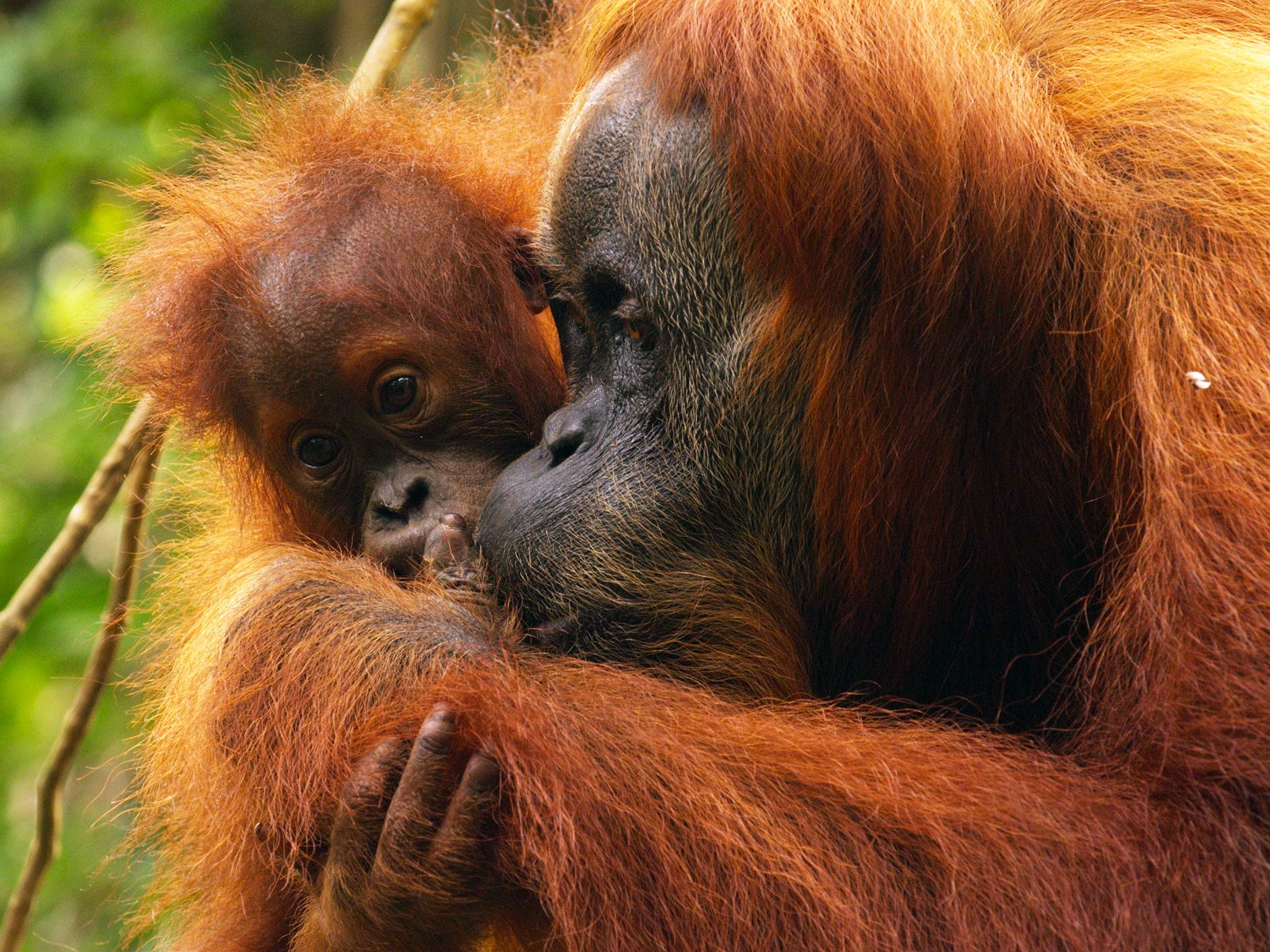 Aceh, Indonesia:  A young orangutan will spend up to 8 to 9 years with it's mother. This image... [Photo of the day - April 2015]
