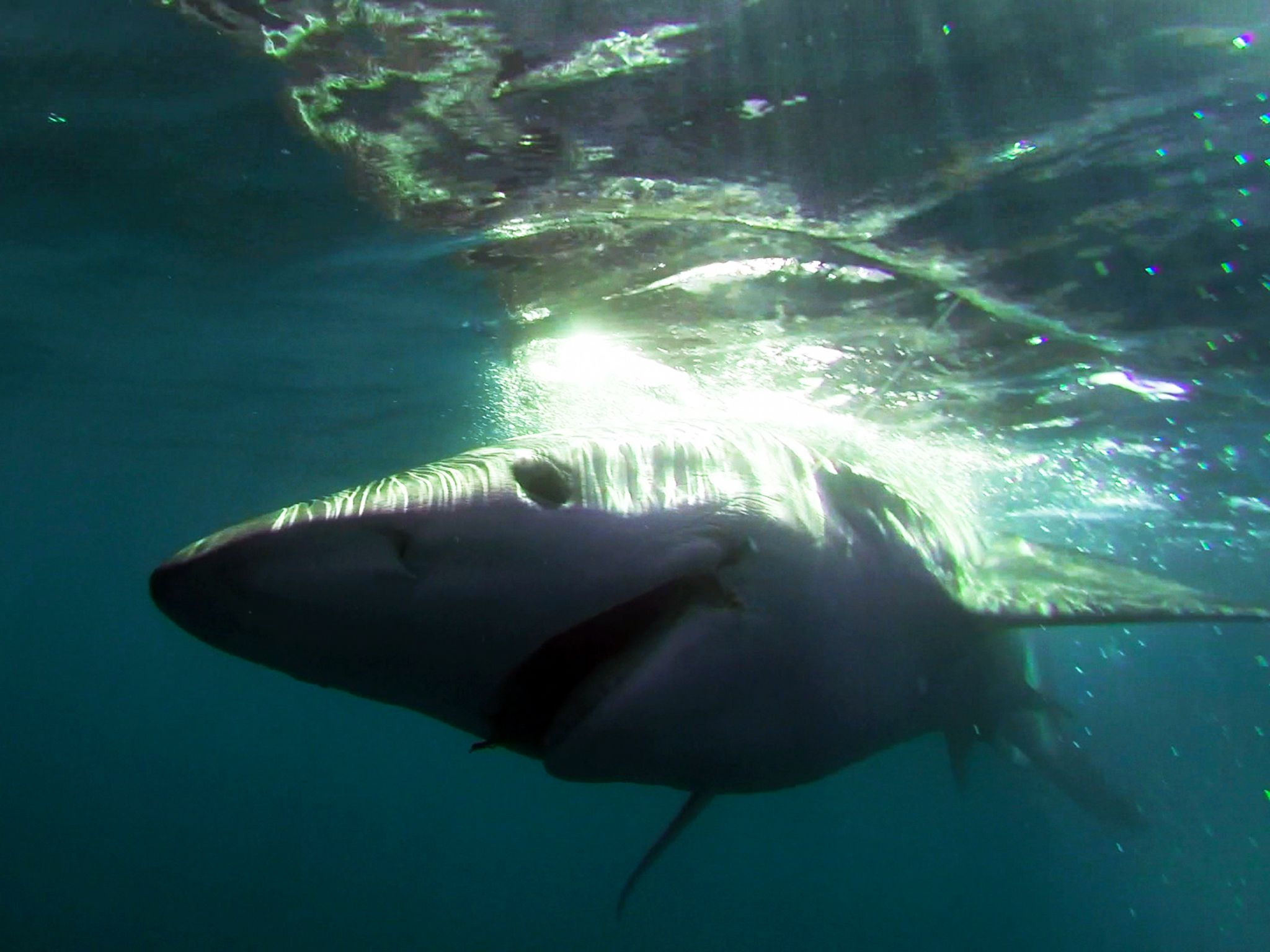 Gloucester, Mass.: The nemesis of all tuna fishing captains, a shark. This image is from Wicked... [Photo of the day - آوریل 2015]