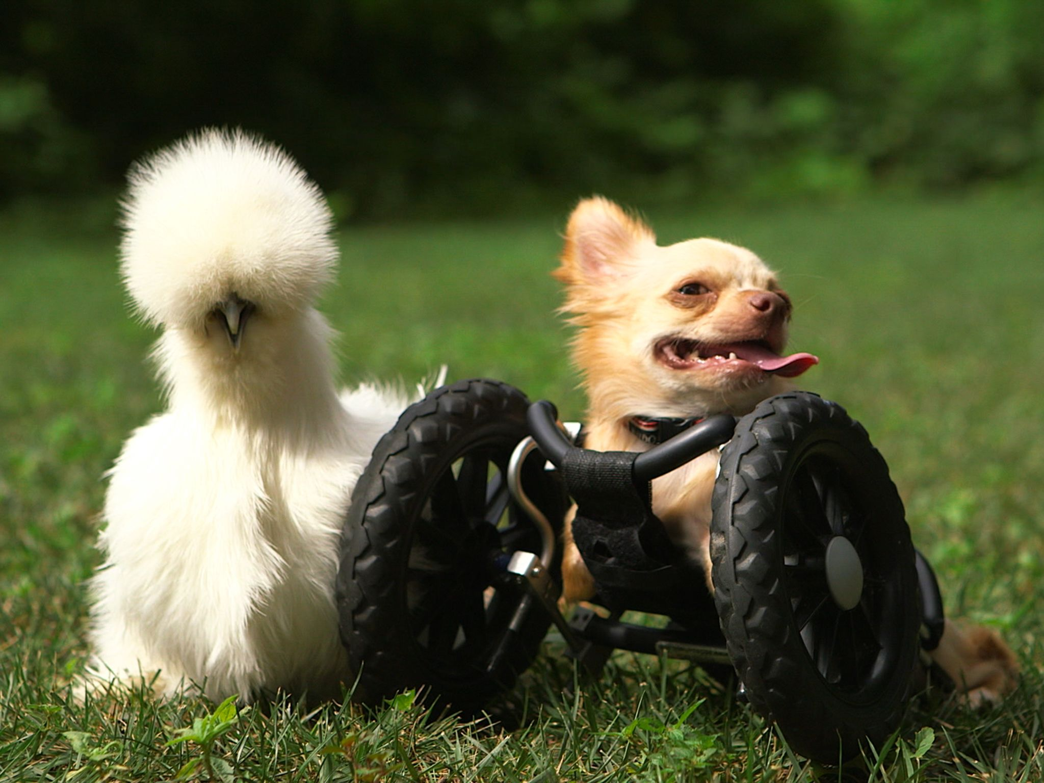 Two-legged chihuahua Roo is right next to his best buddy Penny, a silkie chicken. Both of these... [Photo of the day - آوریل 2015]
