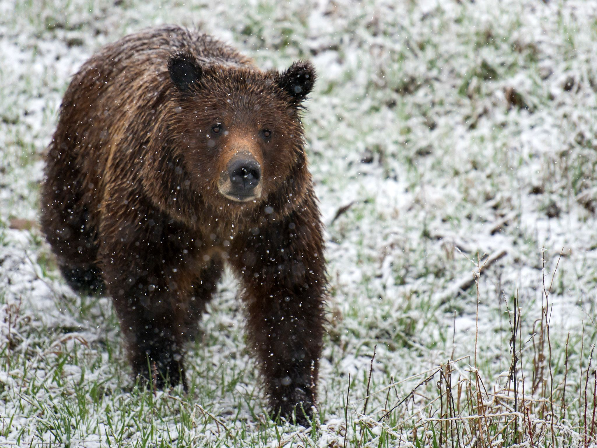 Grand Teton National Park, Wyo.: Brown bear in the early spring snow. This image is from Wild... [Photo of the day - آوریل 2015]