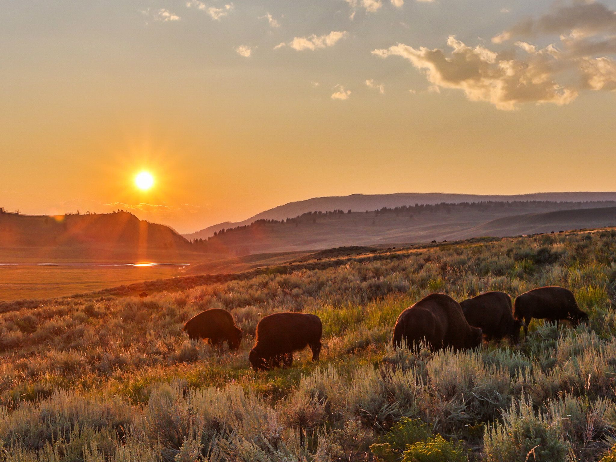 Yellowstone, Wyo.: Bison herd in summer evening light during the bison rut. This image is from... [Photo of the day - آوریل 2015]