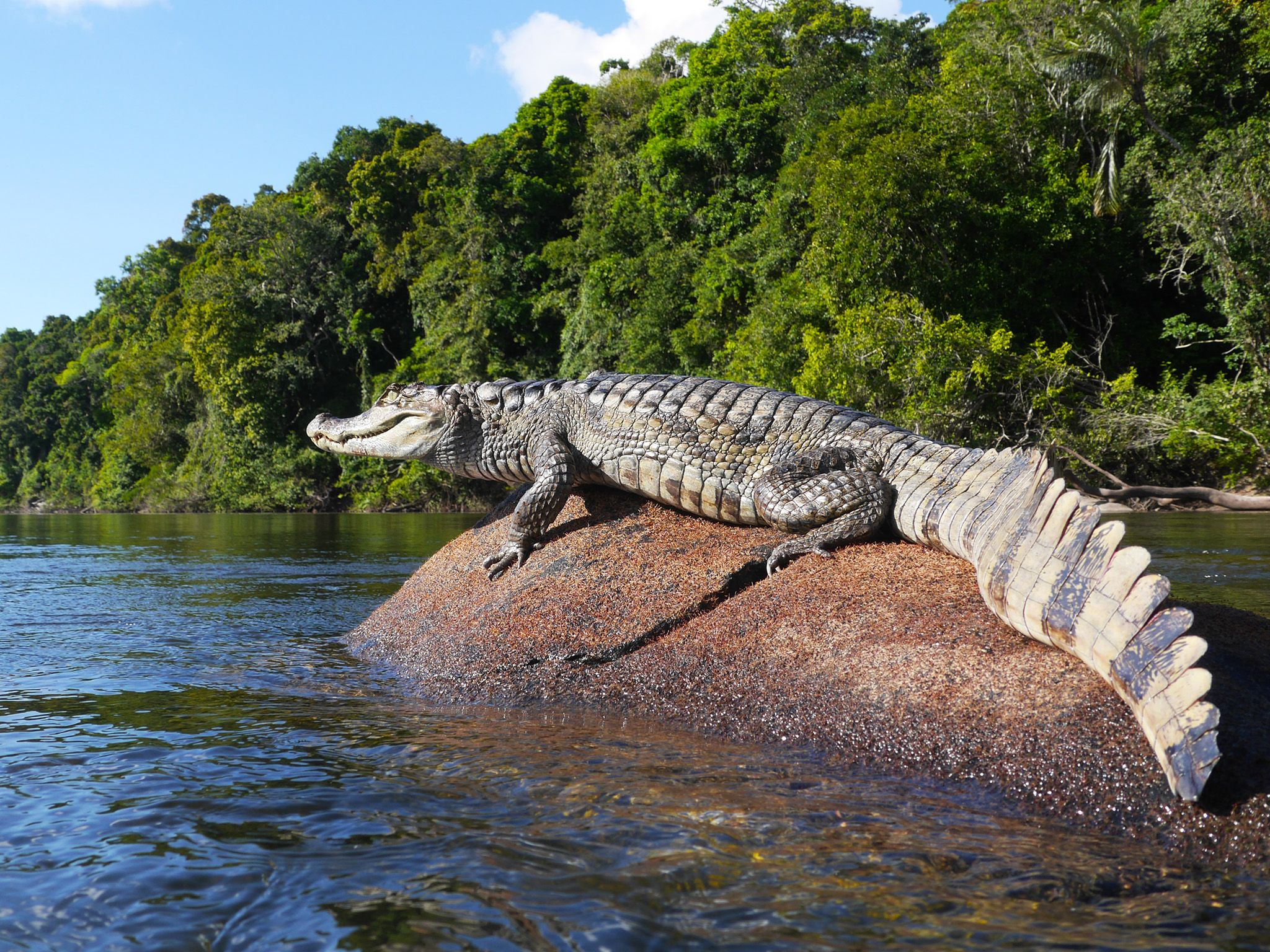 Guyana: A spectacled caiman suns itself on a rock in the Essequibo. This image is from . [Photo of the day - May 2015]