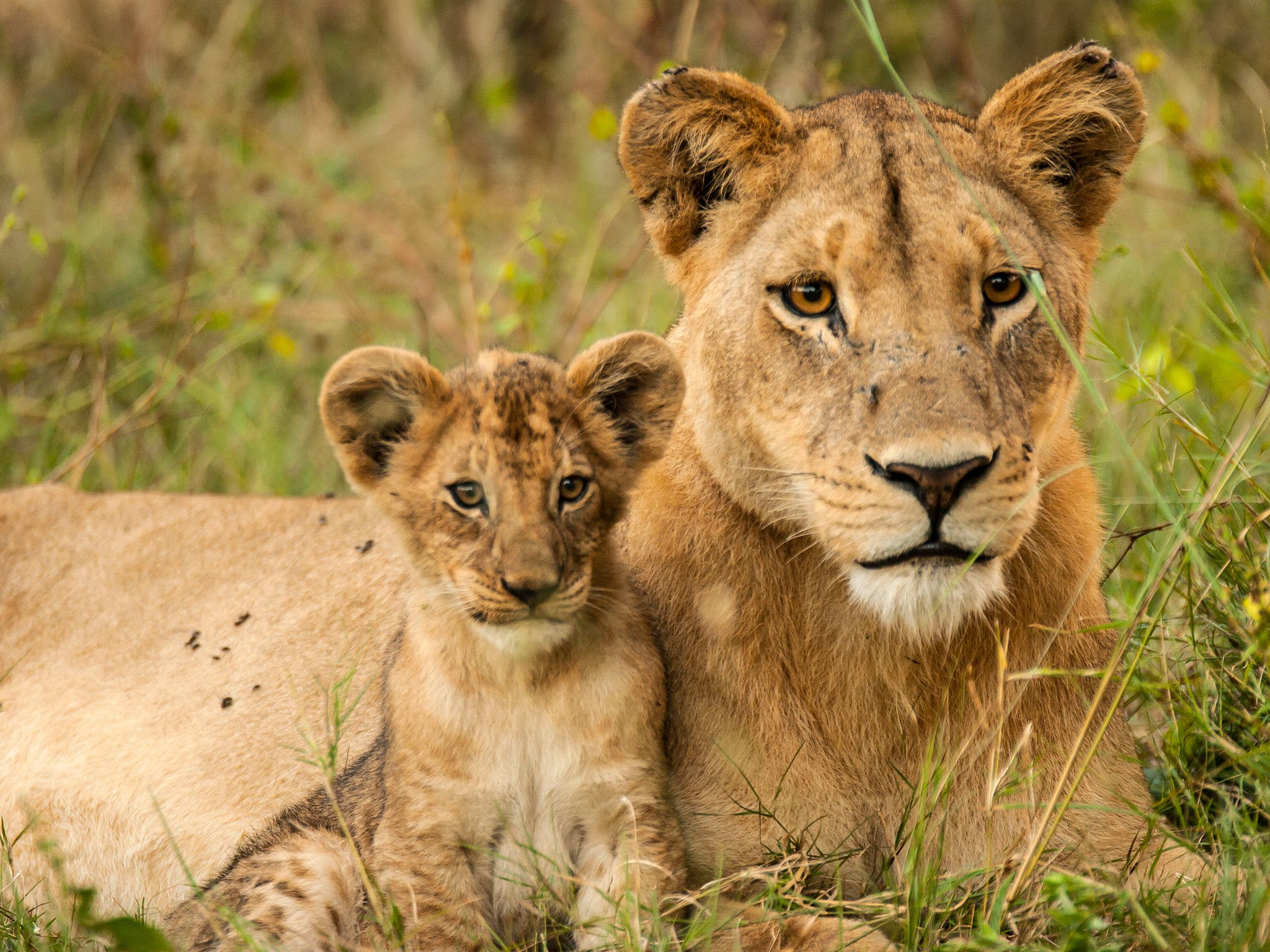Lioness resting with cub. Cubs remain with their mother for 21 – 24 months. This image is... [Photo of the day - May 2015]