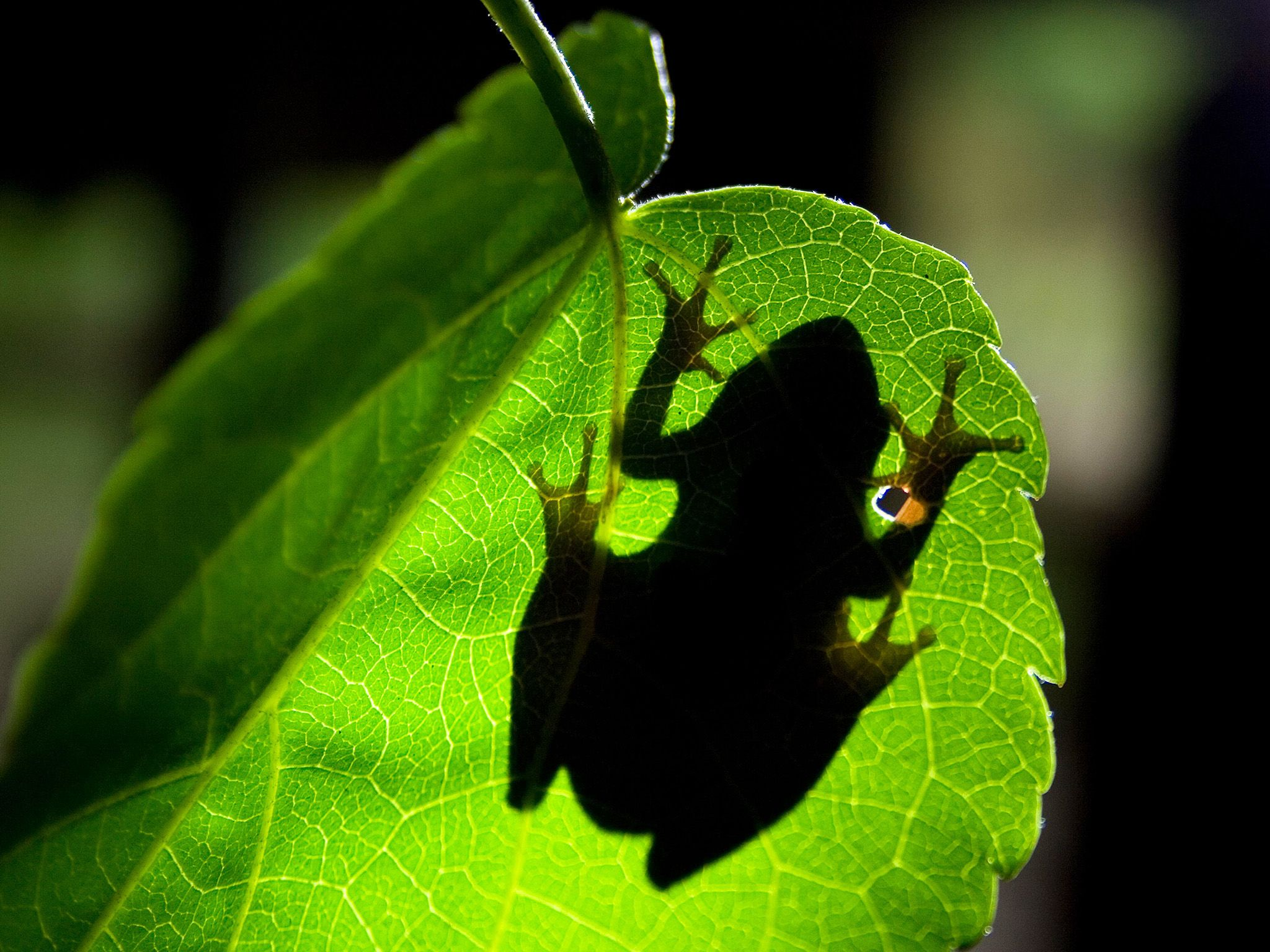 Underside shot looking up through leaf to silhouette of tree frog. Tree frogs distinctive... [Photo of the day - May 2015]
