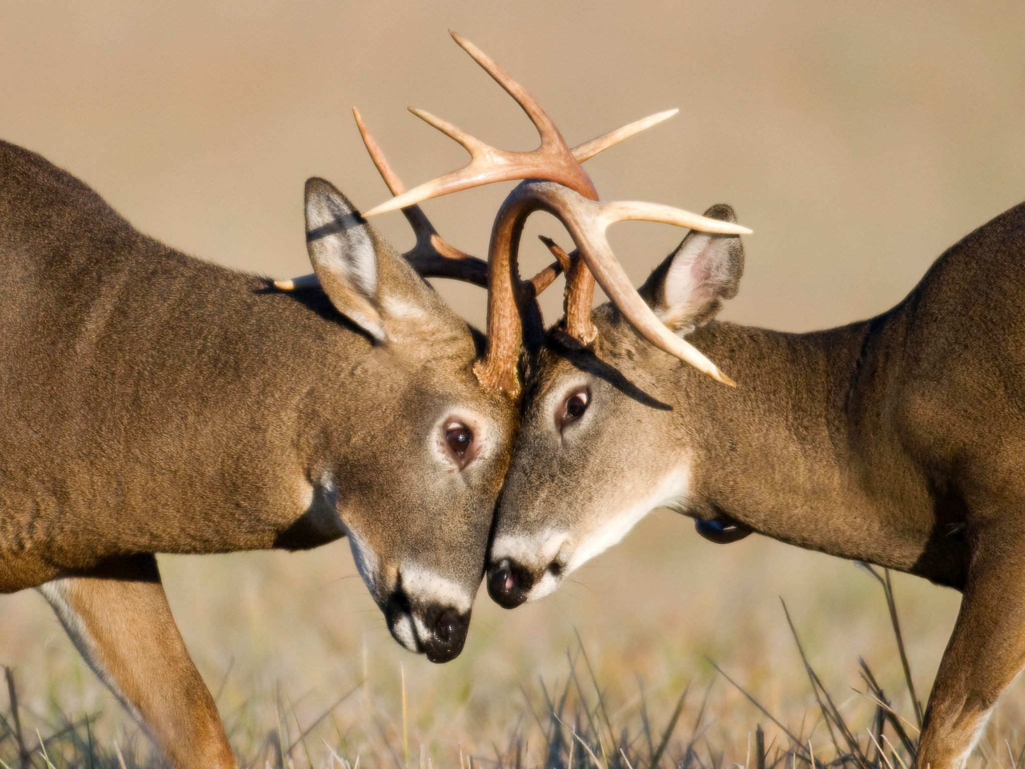 "The period when male deer challenge each other for dominance is called the ""rut."" Fights can end... [Photo of the day - May 2015]"