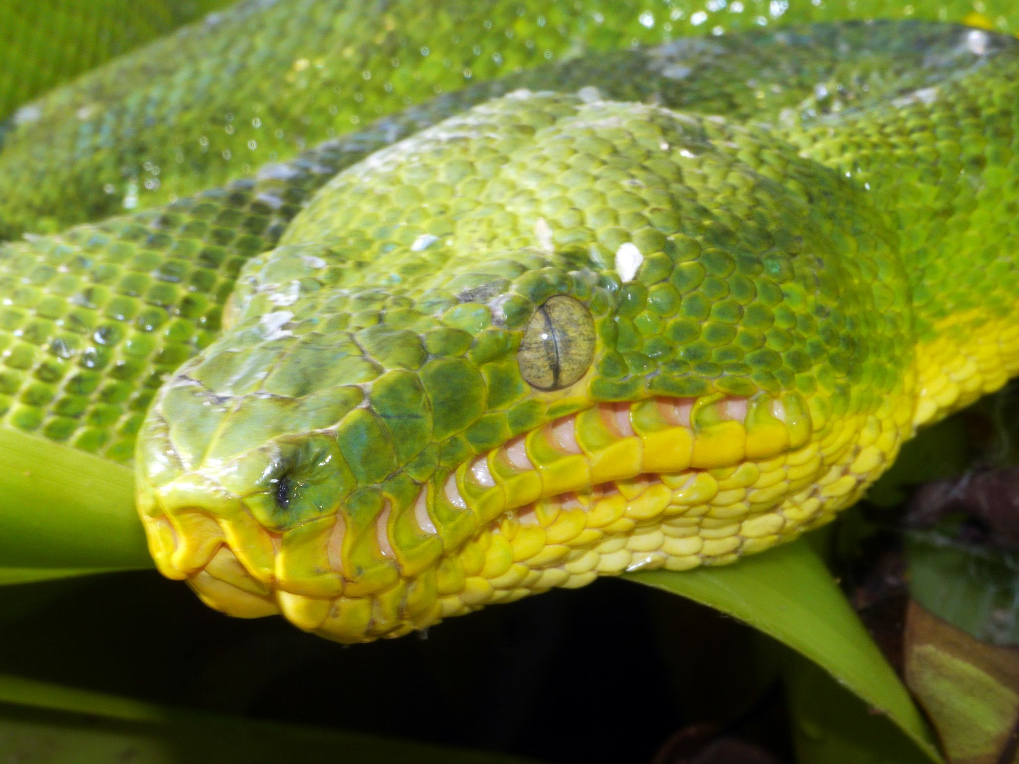 Guyana: The heat receptors around the emerald tree boa's mouth are clearly visible.  This... [Photo of the day - May 2015]