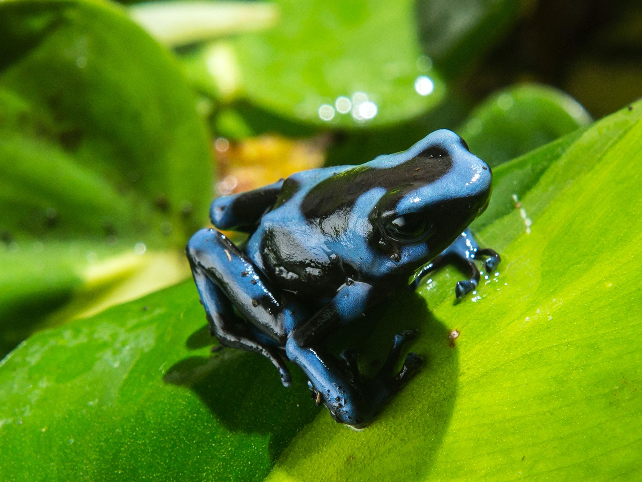 Medium shot of poison dart frog sitting on leaf. Their bright colours signify danger to those... [Photo of the day - May 2015]