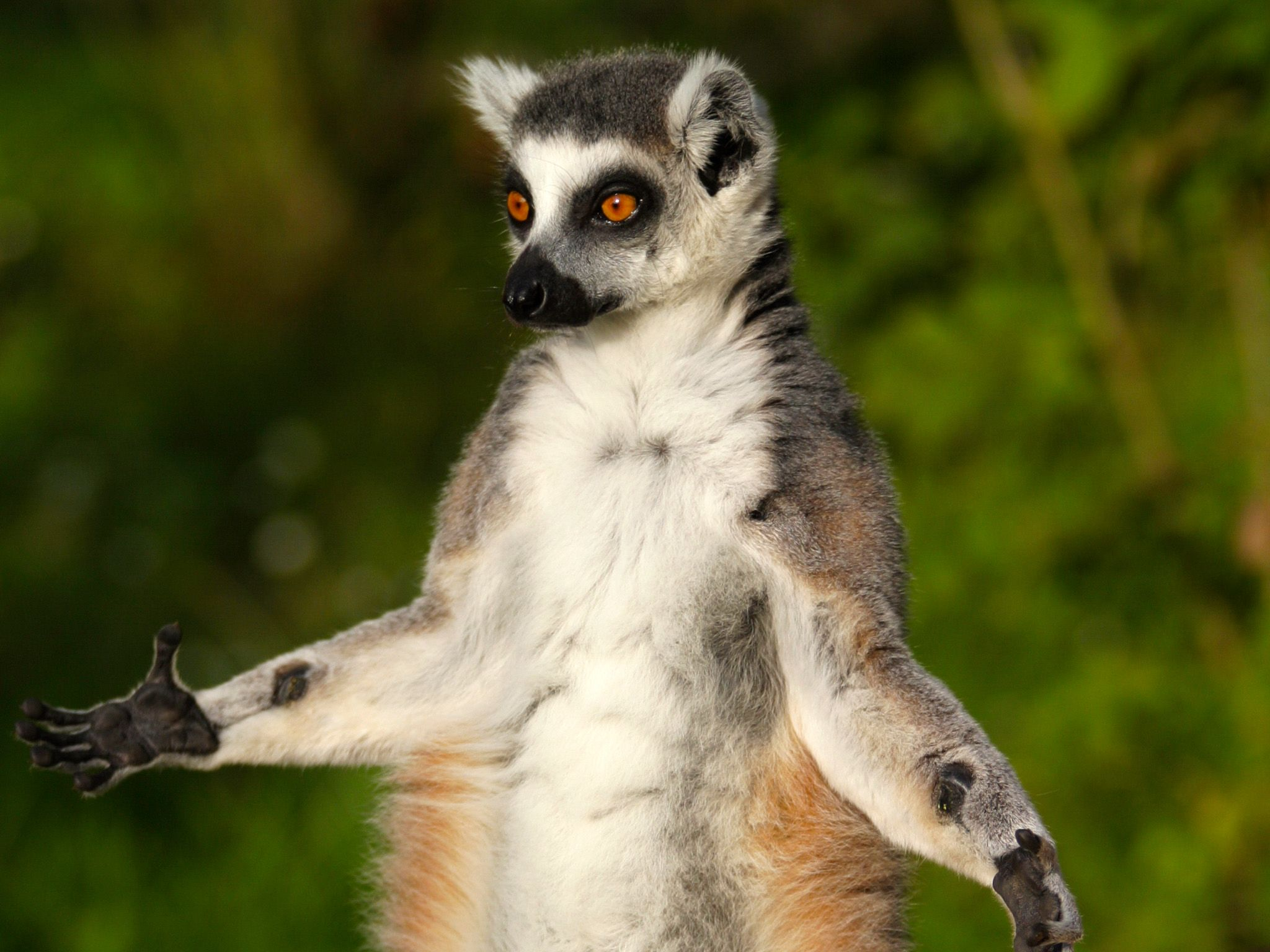 Ring tailed lemurs stop often to bask in the Madagascar sun. This image is from... [Photo of the day - می 2015]