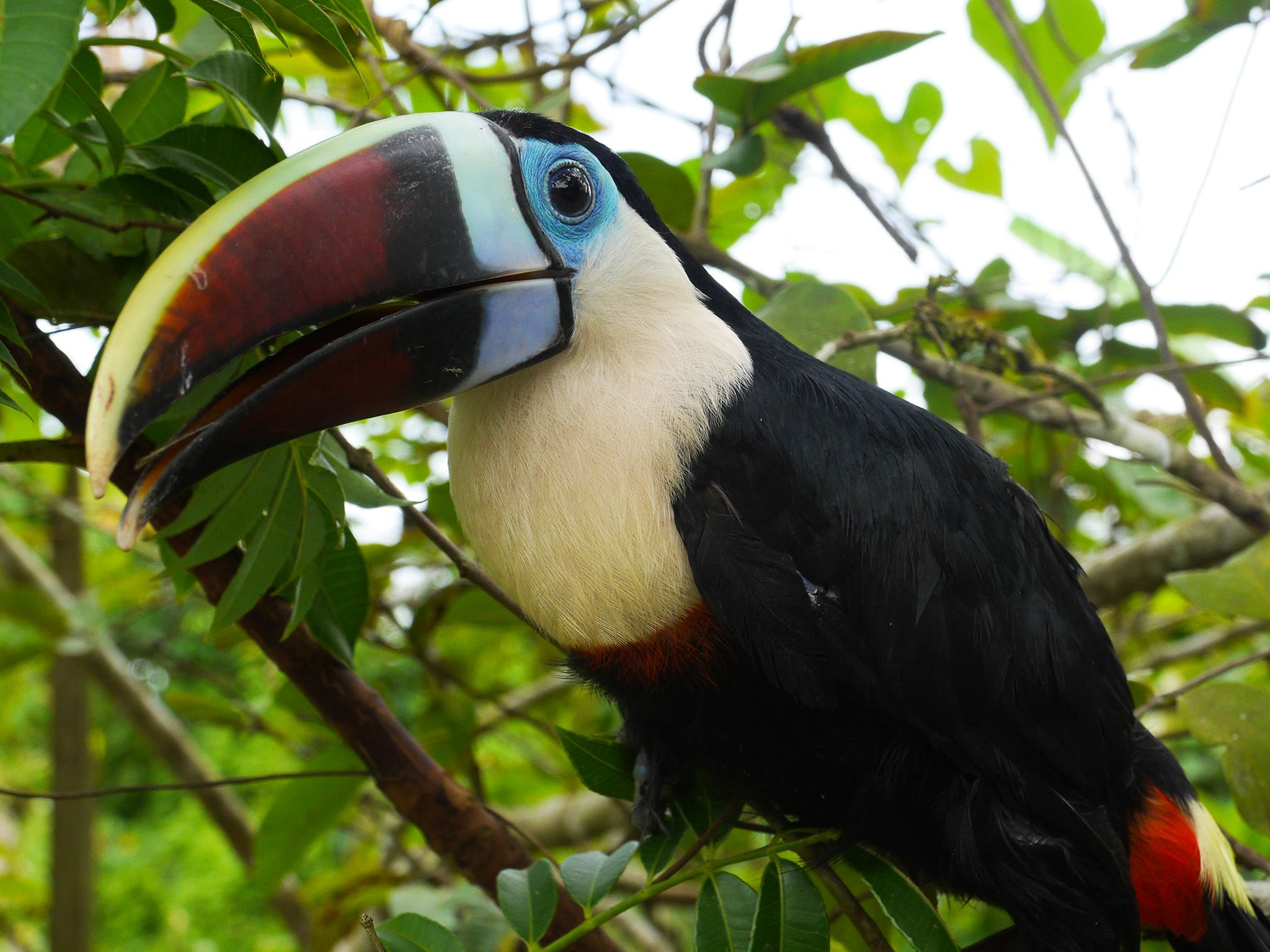 Guyana: A richly colored toucan. This image is from  Anaconda: Silent Killer. [Photo of the day - می 2015]