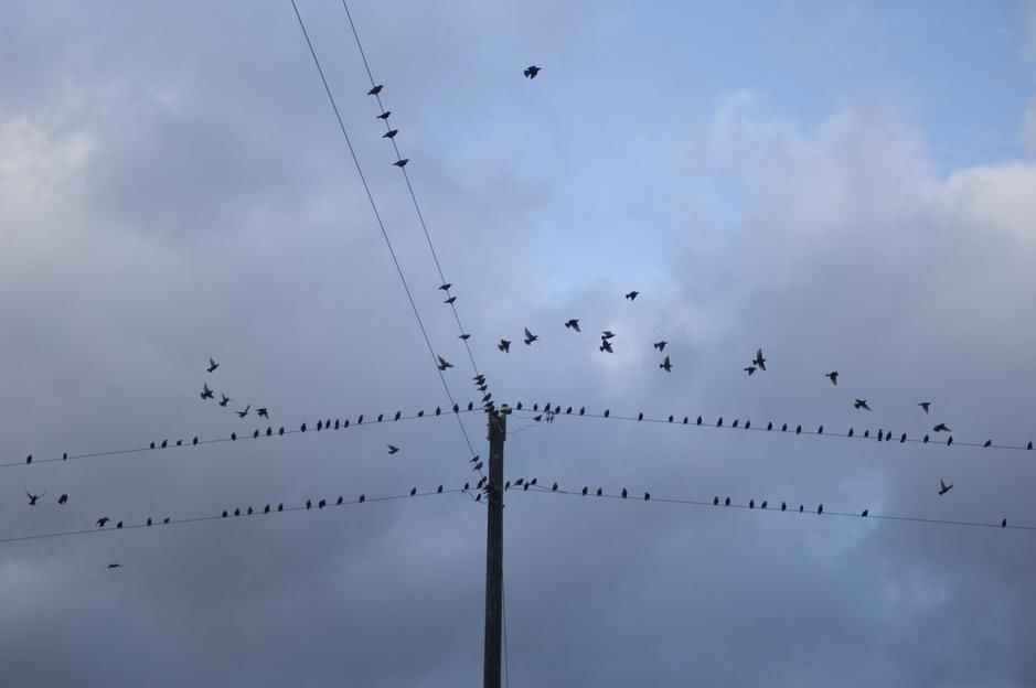 Starlings on phone lines in Fairbury, Nebraska. [Photo of the day - May 2011]