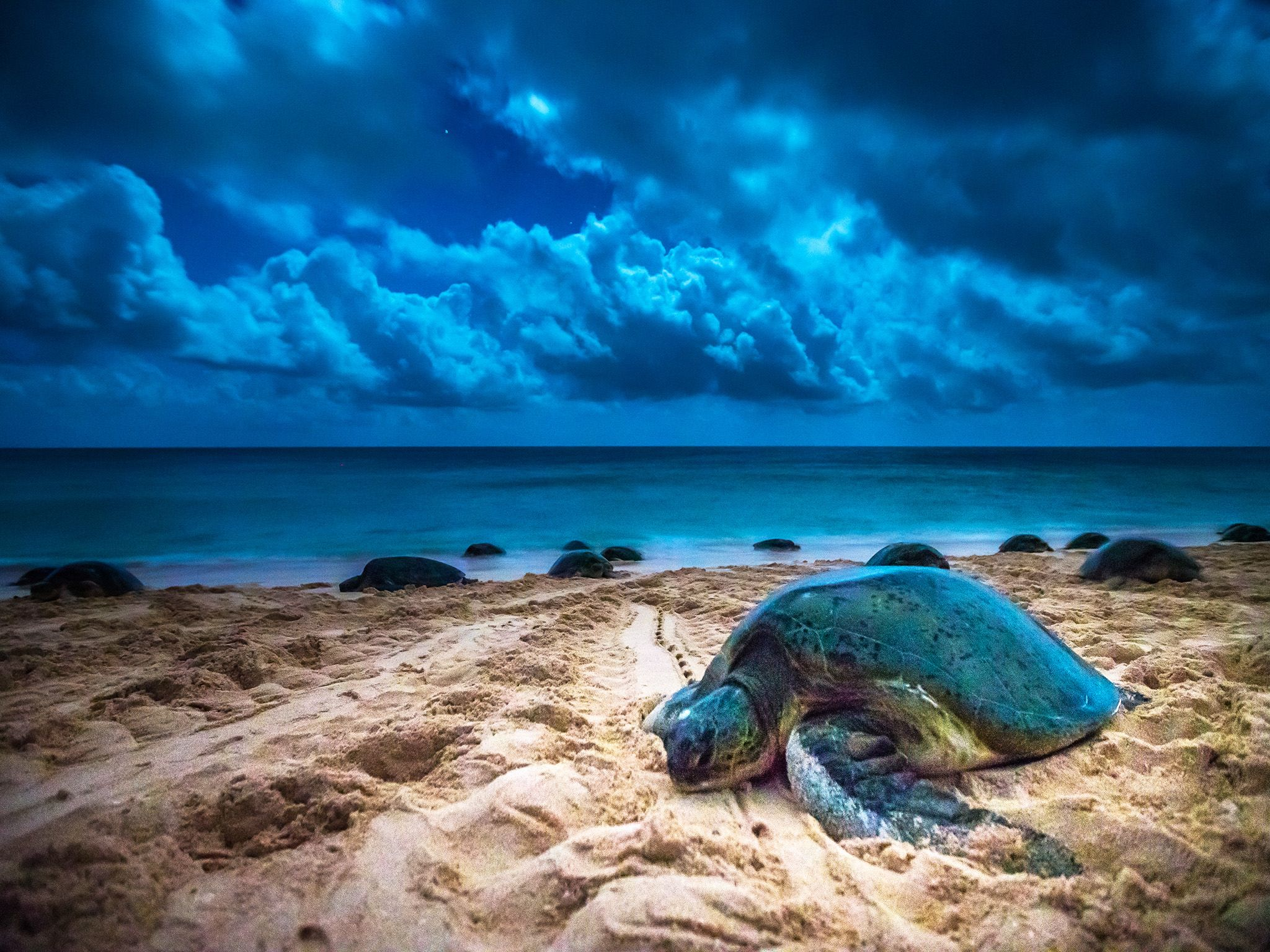 Great Barrier Reef: A green sea turtle climbs up the beach of Raine Island to lay her eggs.... [Photo of the day - June 2015]
