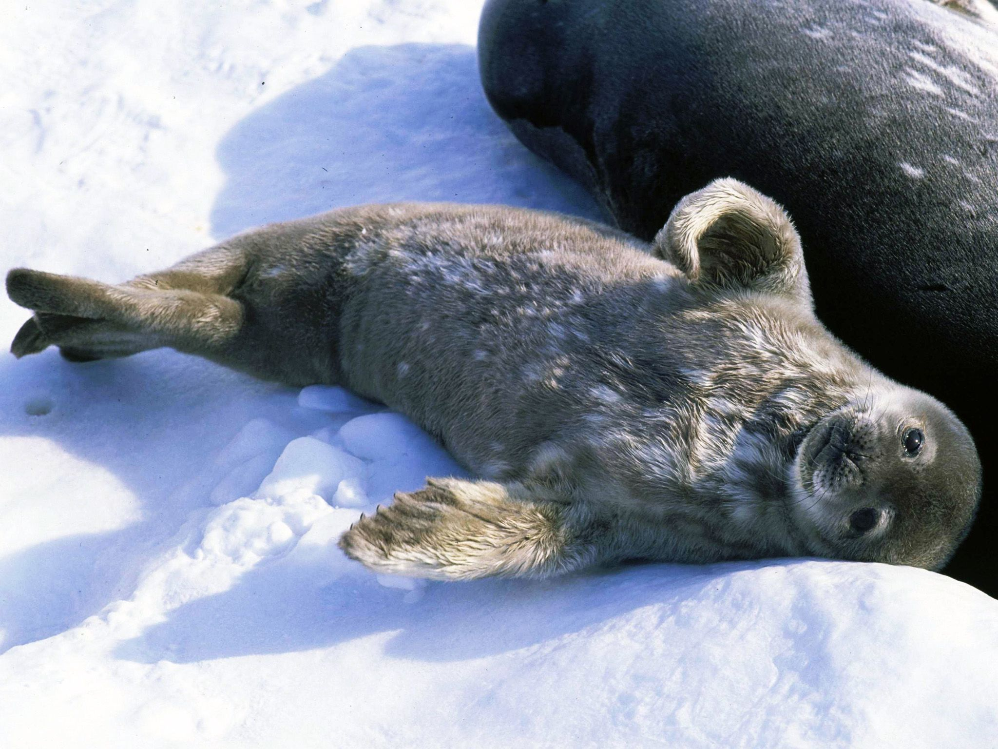 Weddell seal pup born in early spring to make  full use of the coming summer feeding frenzy.... [Photo of the day - ژوئن 2015]