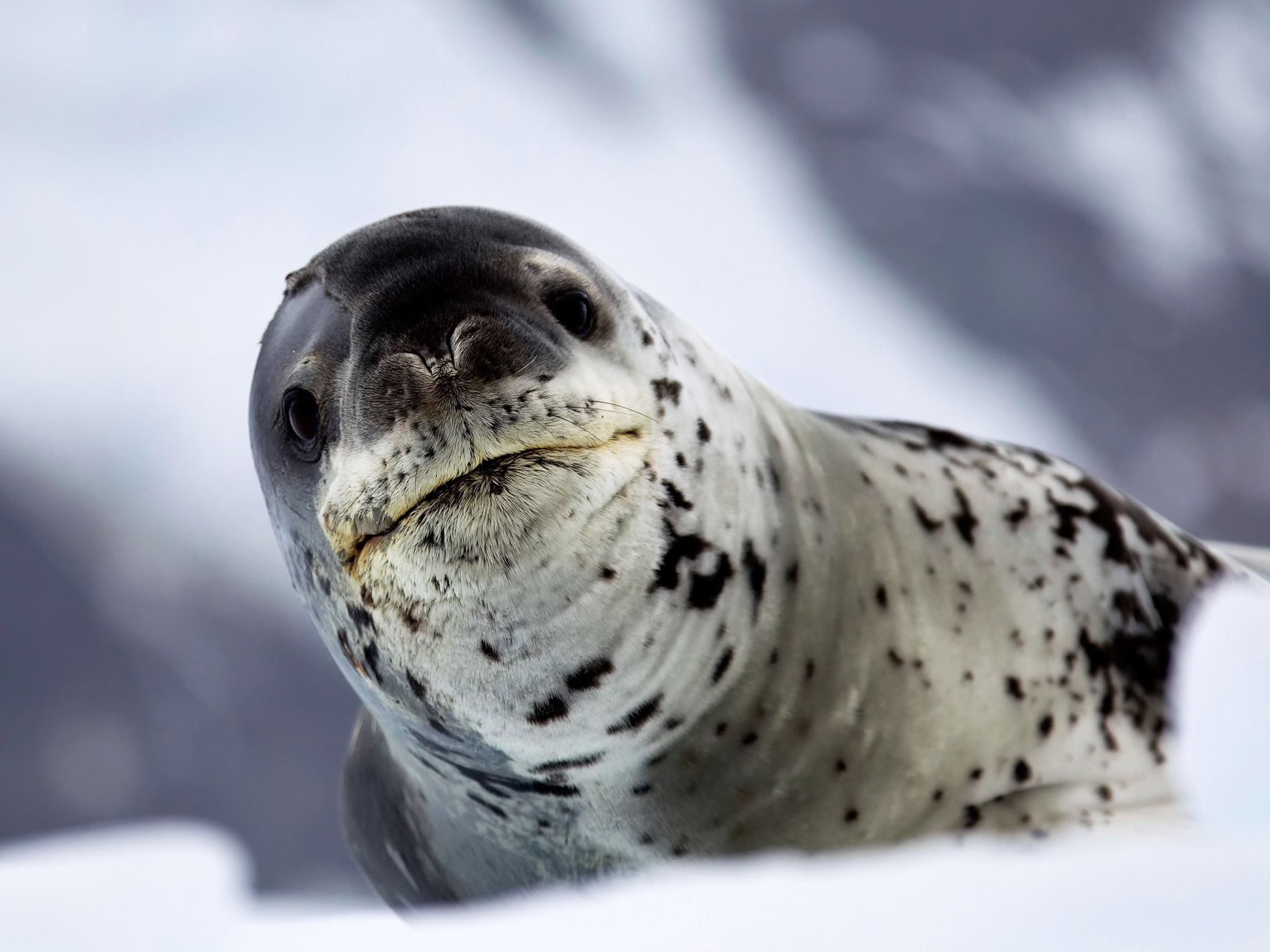 Leopard seals are one of Antarctica's apex predators. This image is from Wild Antarctica. [Photo of the day - ژوئن 2015]