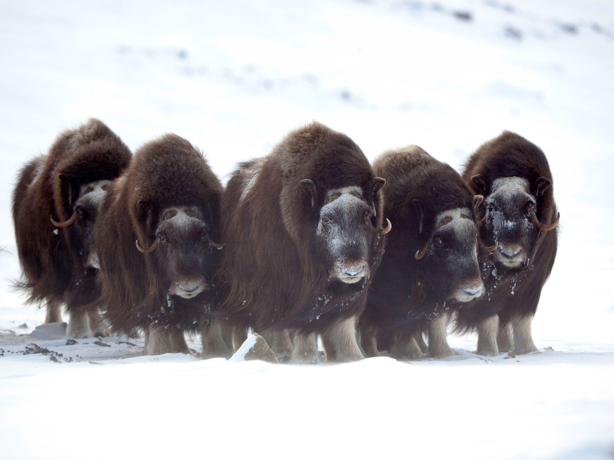 Musk oxen are well adapted to a life in the freezer. In small herds they brave the elements and... [Photo of the day - ژوئن 2015]