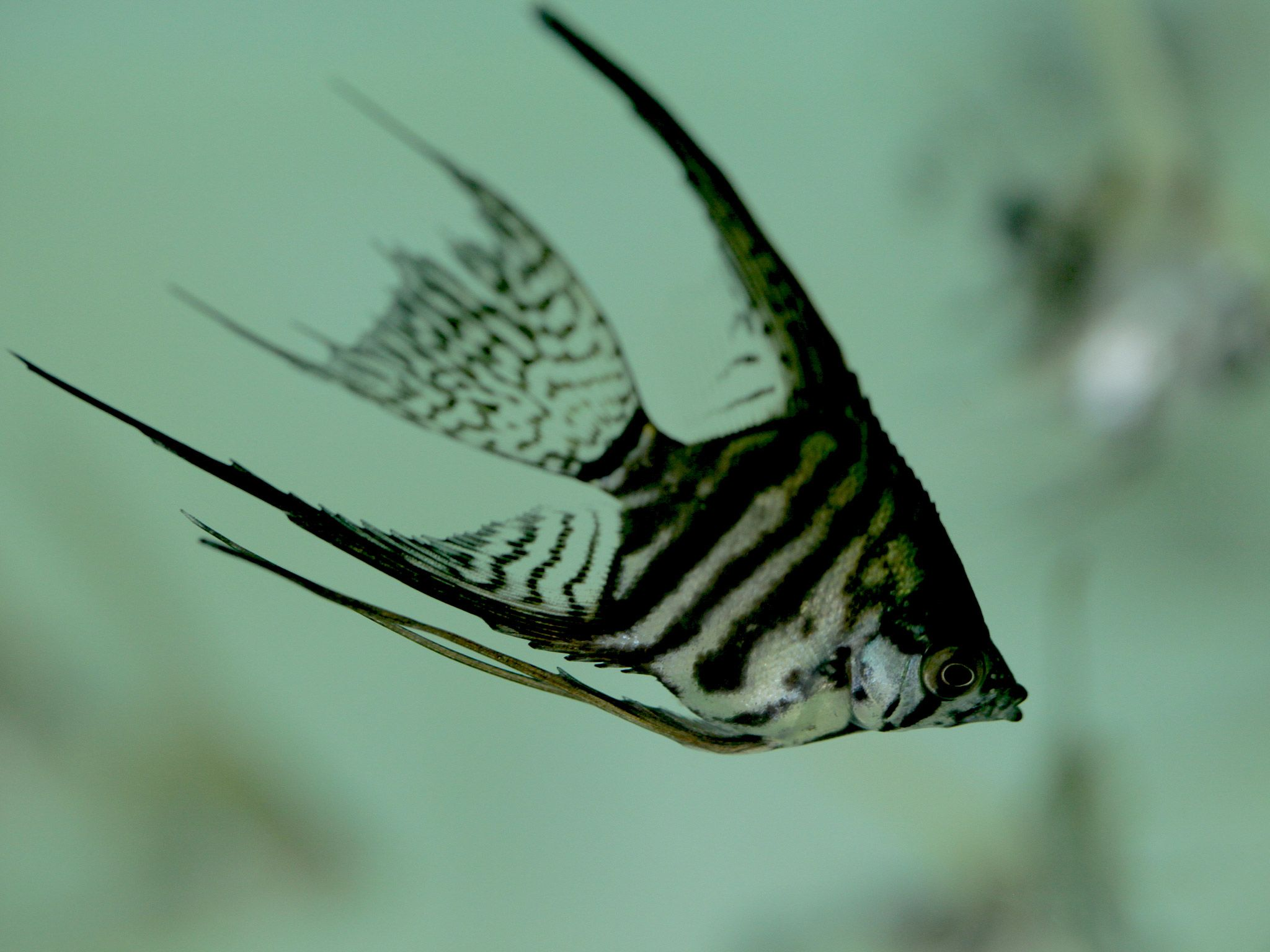 An  angel fish. [Photo of the day - ژولیه 2015]