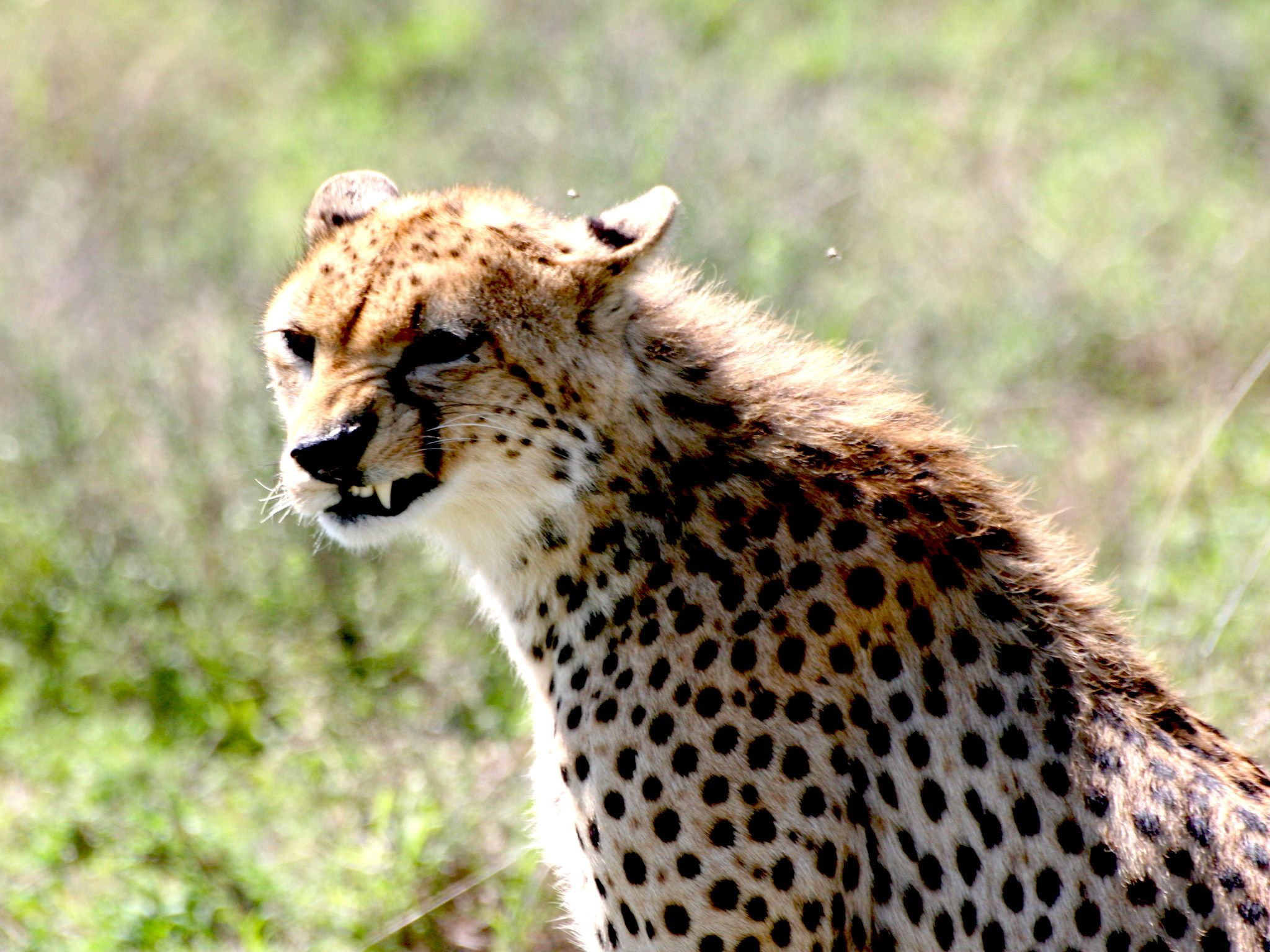 Cheetah shows off it's sharp teeth. [Photo of the day - ژولیه 2015]