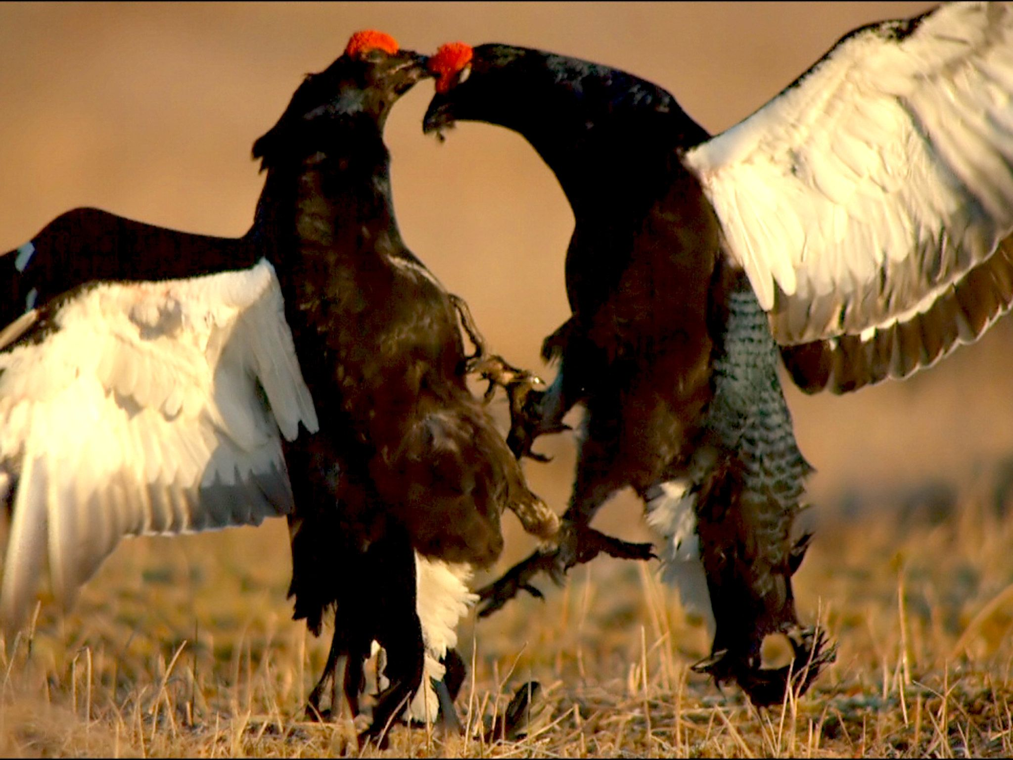 Only the winner gets a receptive hen..  (Photo credit: © Goetzl, Nörenberg / NDR Naturfilm /... [Photo of the day - ژولیه 2015]