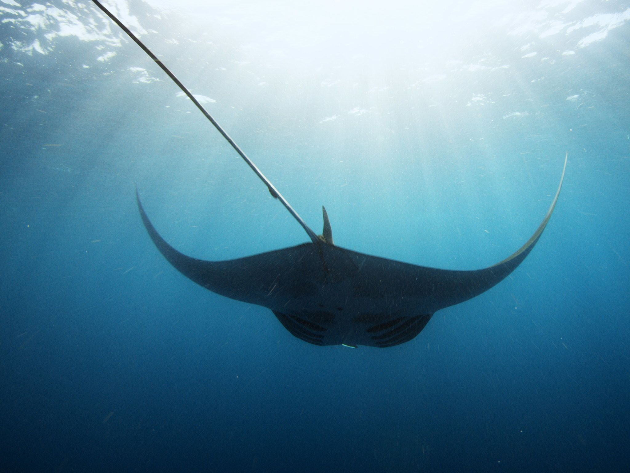 A Giant Manta swims through blue waters. [Photo of the day - ژولیه 2015]