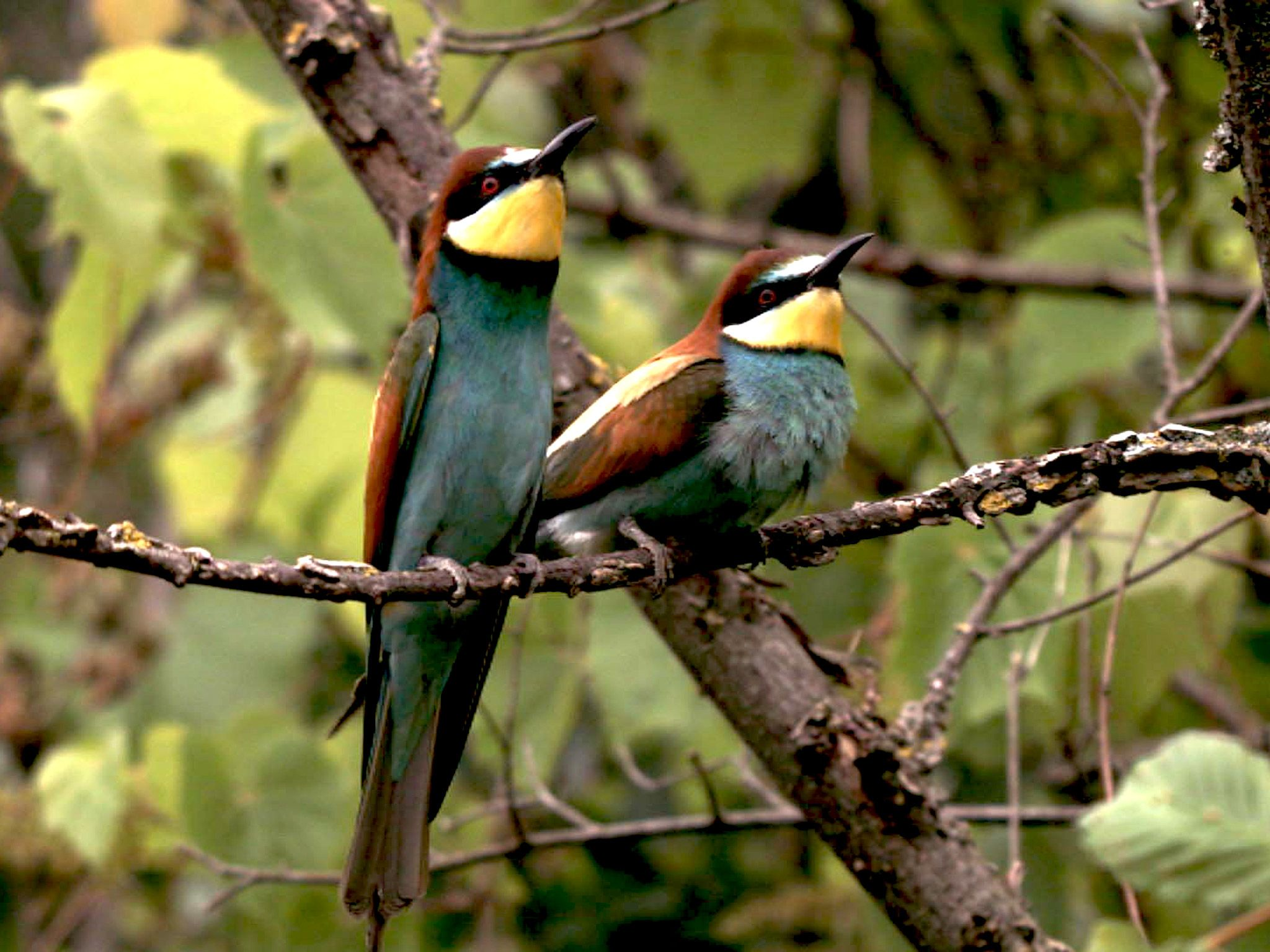 Bee-eaters belong to the most colourful European birds. [Photo of the day - ژولیه 2015]