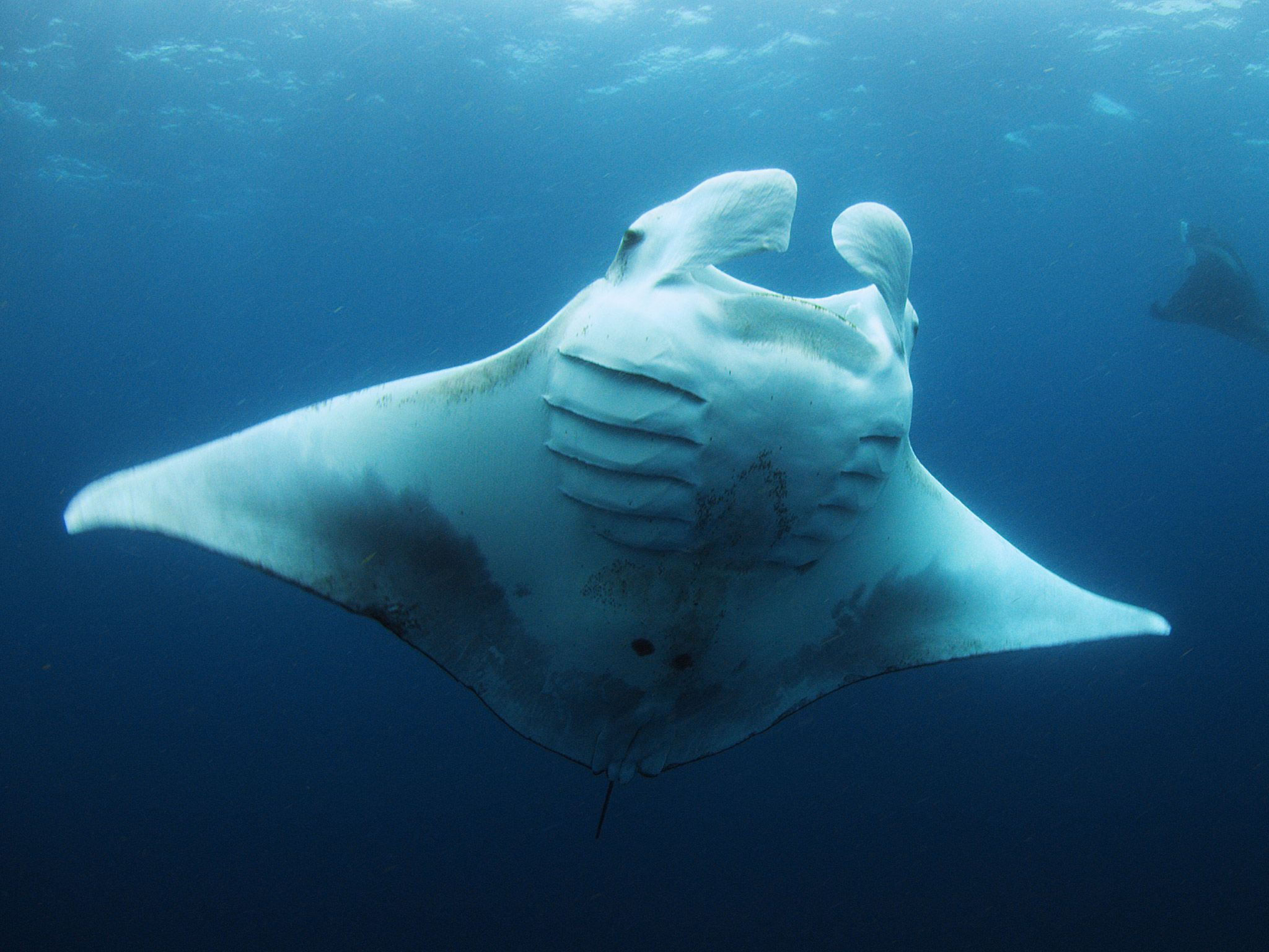 A Giant Manta swims through blue waters. [Photo of the day - July 2015]