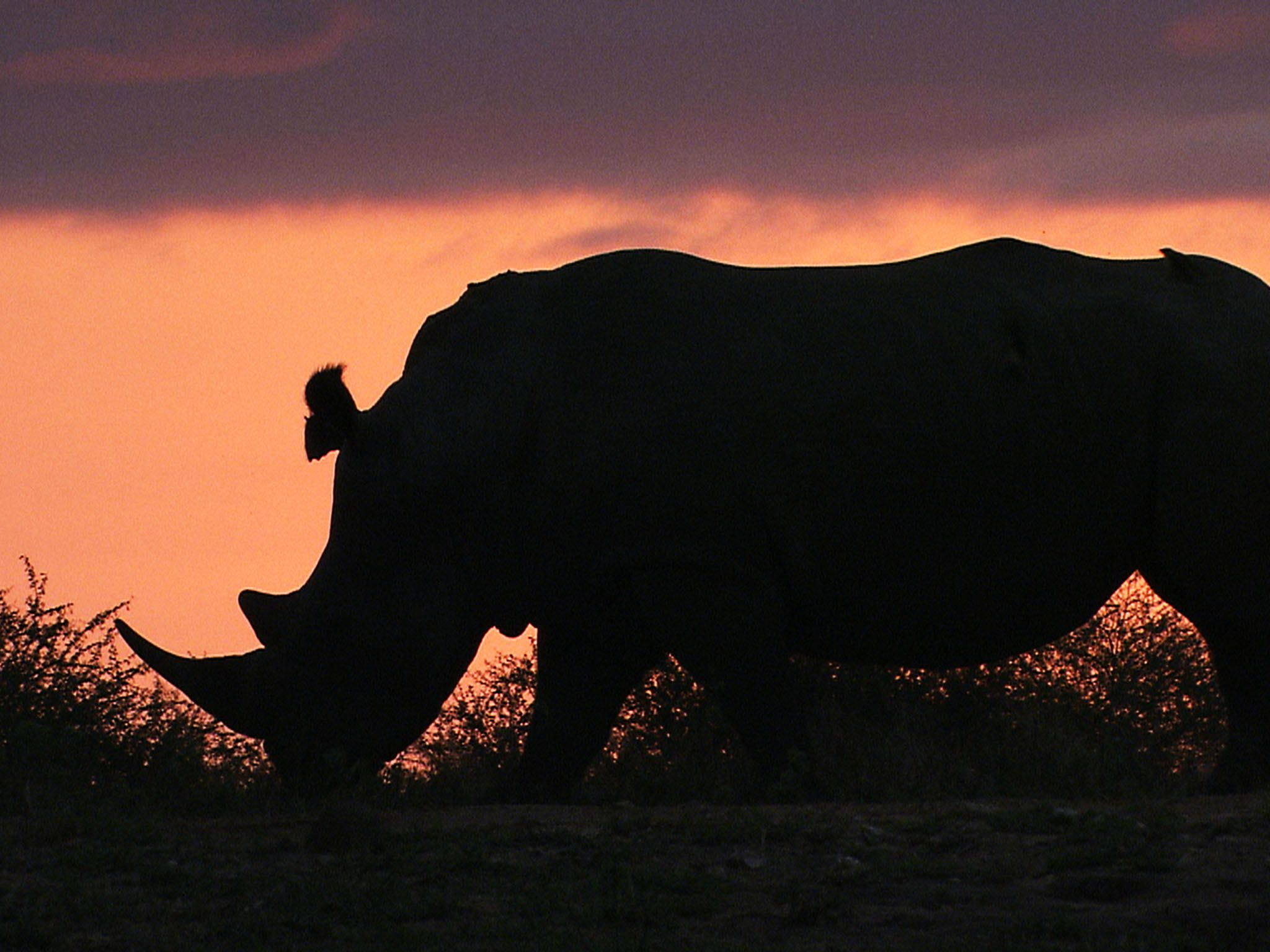 Africa: Rhino at sunset. This image is from Africa's eadliest [Photo of the day - اگوست 2015]
