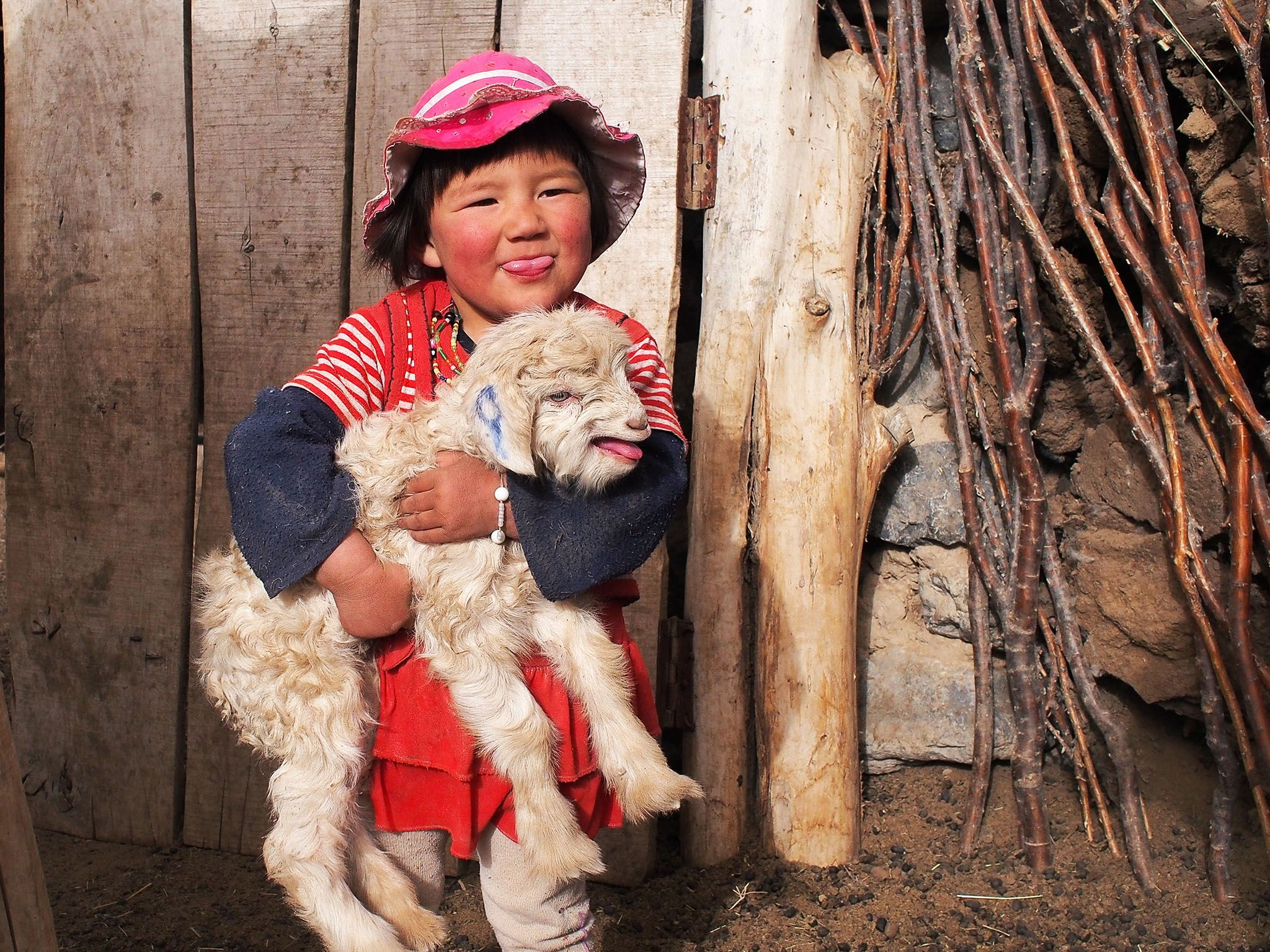 Macan's granddaughter playing with a lamb in the pen. Macan, a master falconer, teaches his son... [Photo of the day - اگوست 2015]