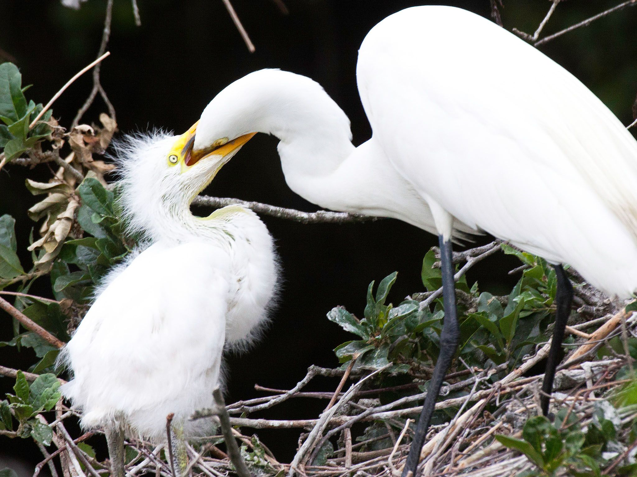 In Snowey egrets, the two oldest and strongest chicks often kill the younger and weaker one. ... [Photo of the day - August 2015]