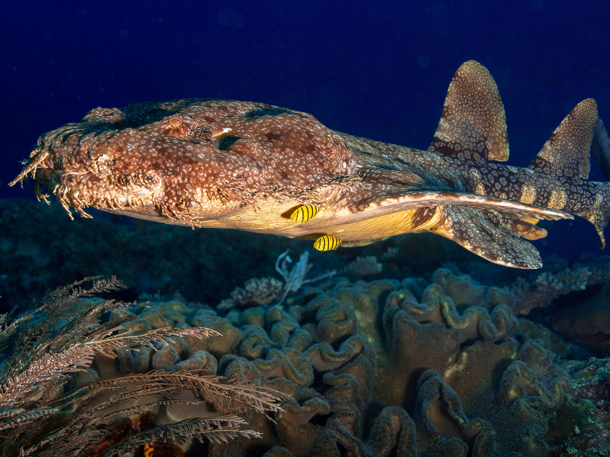 The wobbegong is the giant whale shark's closest relative. This image is from World's Weirdest. [Photo of the day - اگوست 2015]