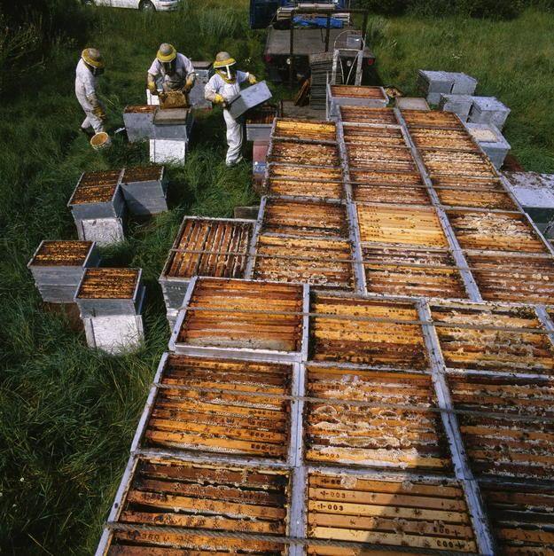 A team of beekeepers unloaded frame-filled boxes where bees stash their surplus honey in Minnesota. [Photo of the day - می 2011]