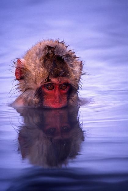 Baby Japanese Macaque bathing in natural hot springs, Honshu Island. [Photo of the day - May 2011]