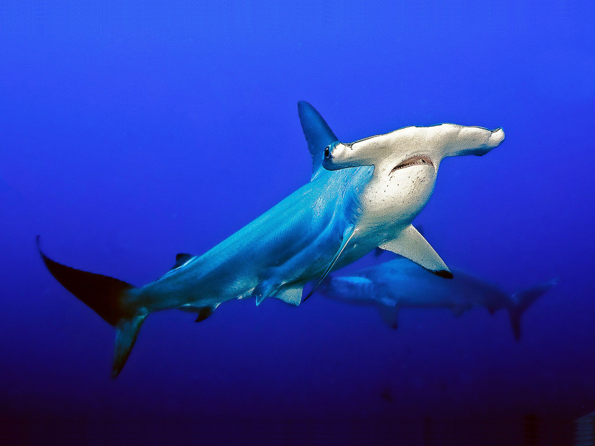 Hammerheads use their distinctive head wings like a metal detector to track down prey hidden... [Photo of the day - August 2015]