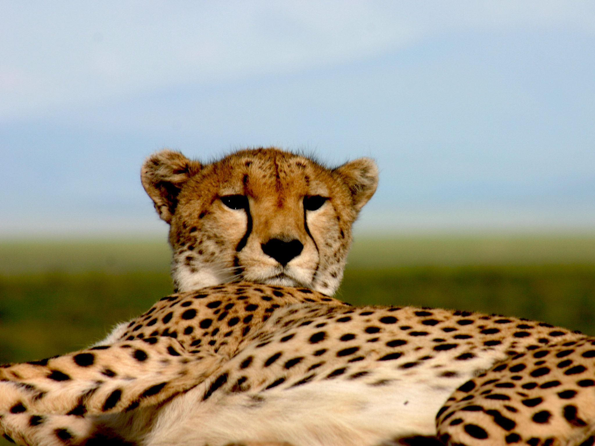 Most wild cheetahs are found in eastern and southwestern Africa. This image is from Surviving... [Photo of the day - July 2015]