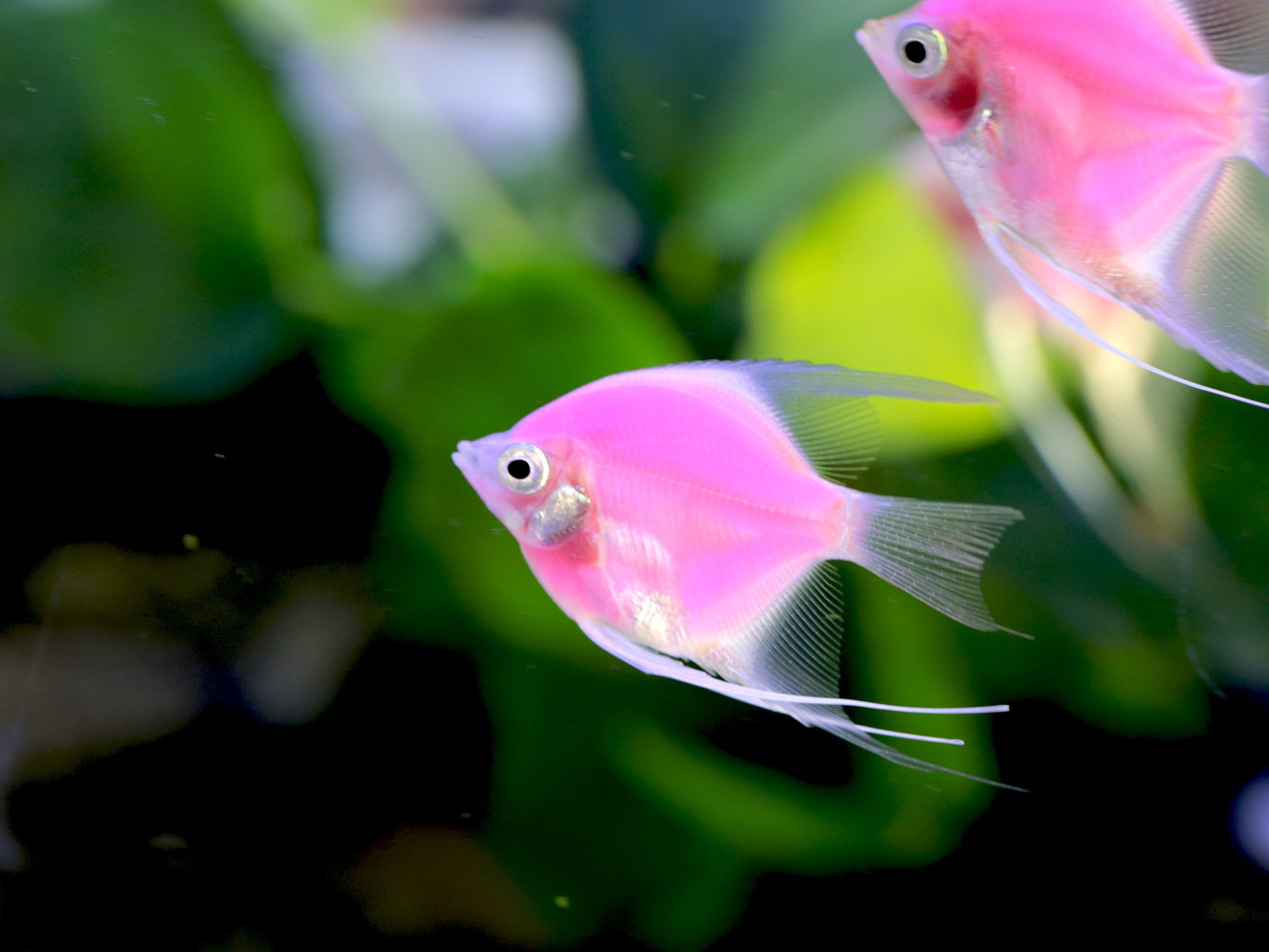 A Pink Fluorescent angelfish. This image is from Taiwan: Island of Fish. [Photo of the day - July 2015]