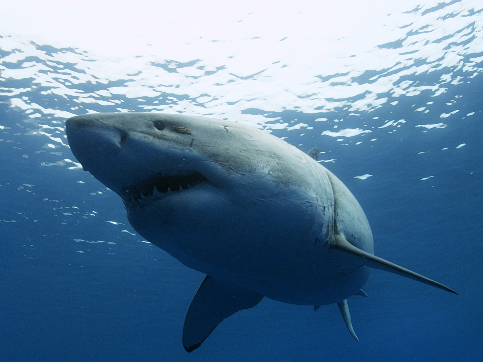 A Great White Shark. This image is from Wild Baja. [Photo of the day - July 2015]