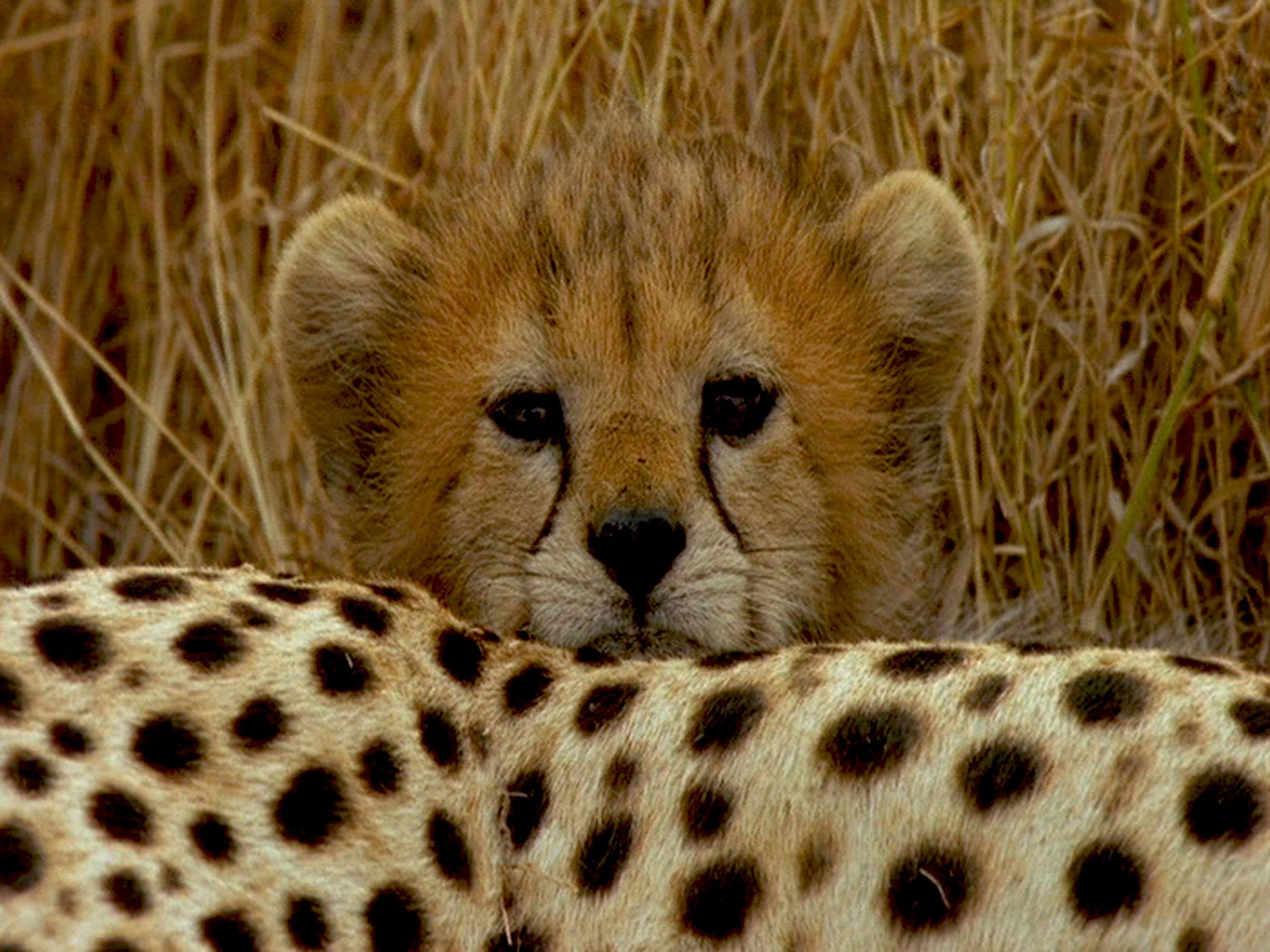 A Cheetah cub peers over its mother. This image is from Surviving the Serengeti. [Photo of the day - July 2015]