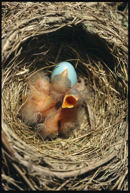 A nest of red-breasted robin chicks. [Photo of the day - می 2011]
