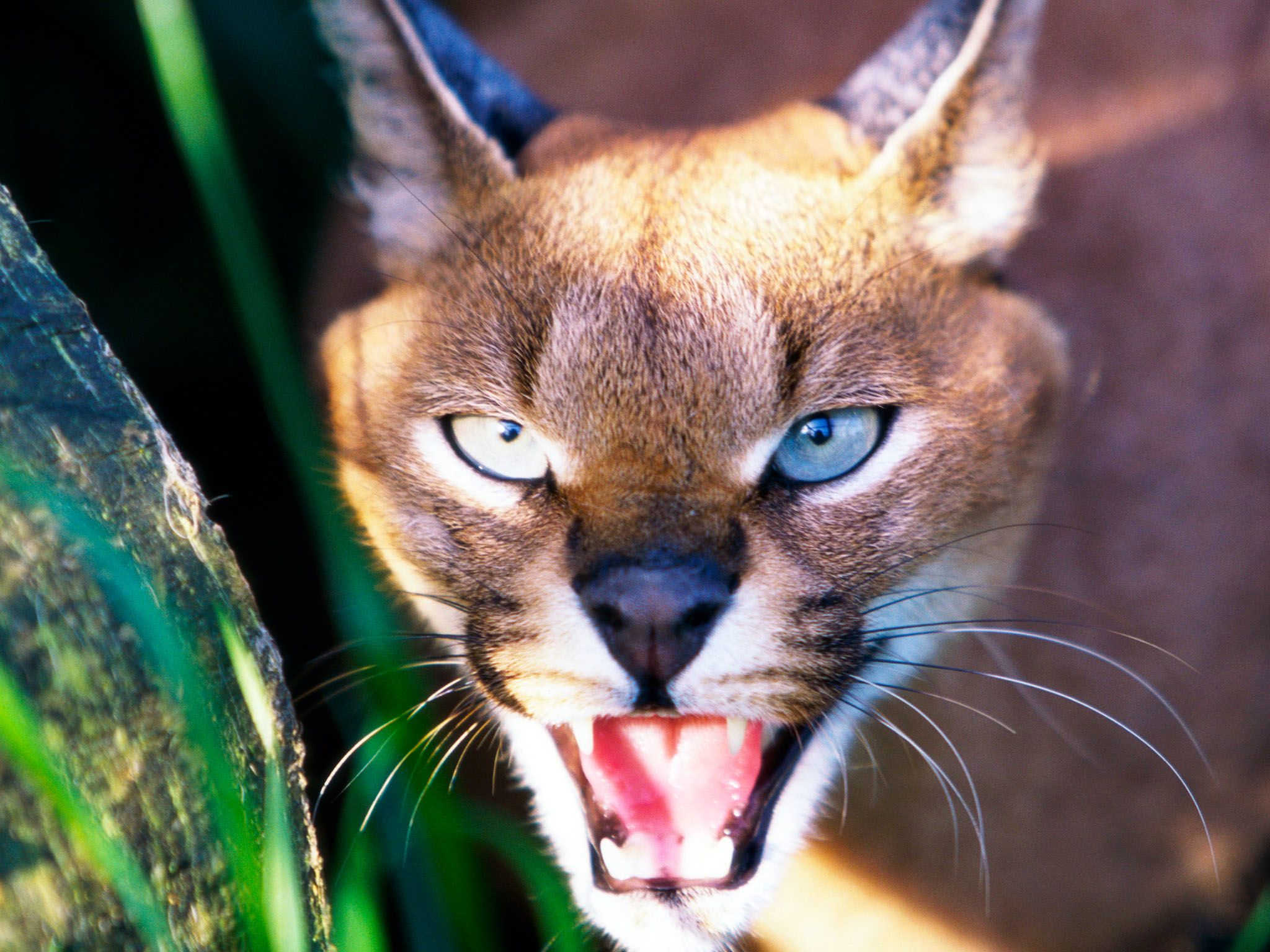 A caracal can leap up to 10 feet in the air to literally grab birds from the sky.  This image is... [Photo of the day - September 2015]