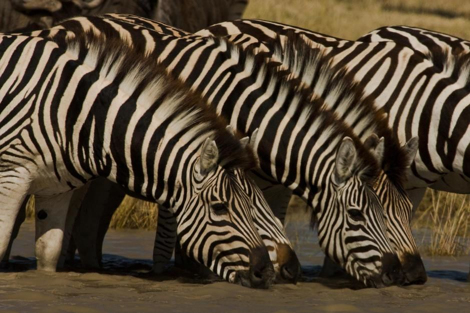 Zebras drinking at a watering hole. [Photo of the day - May 2011]
