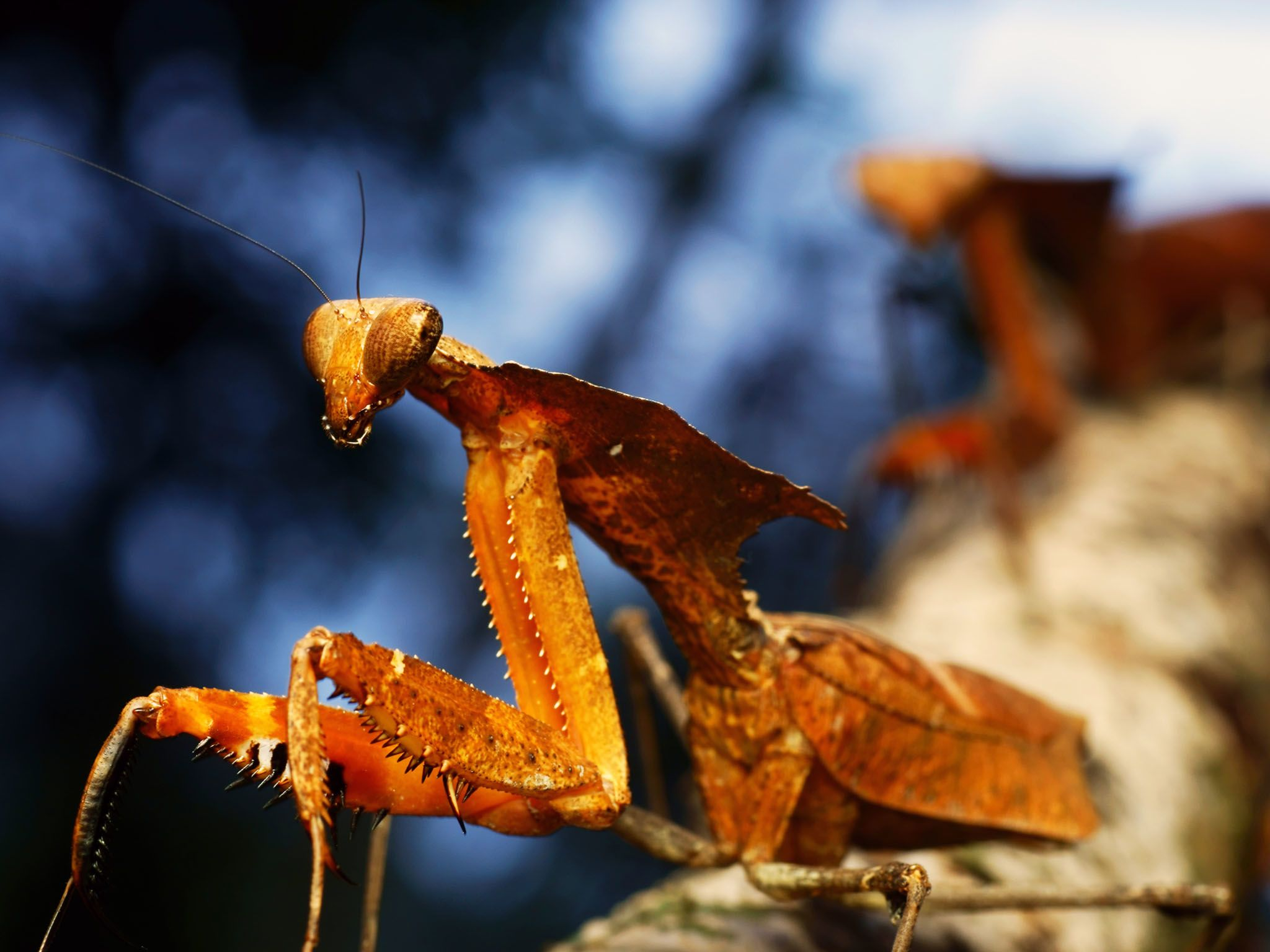 Preying Mantis are thought to be named for the way they hold their front legs… like... [Photo of the day - September 2015]