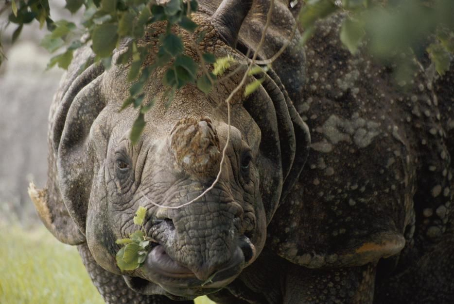 A docile looking Indian Rhino chews on a few leaves in Miami, Florida. [Photo of the day - May 2011]